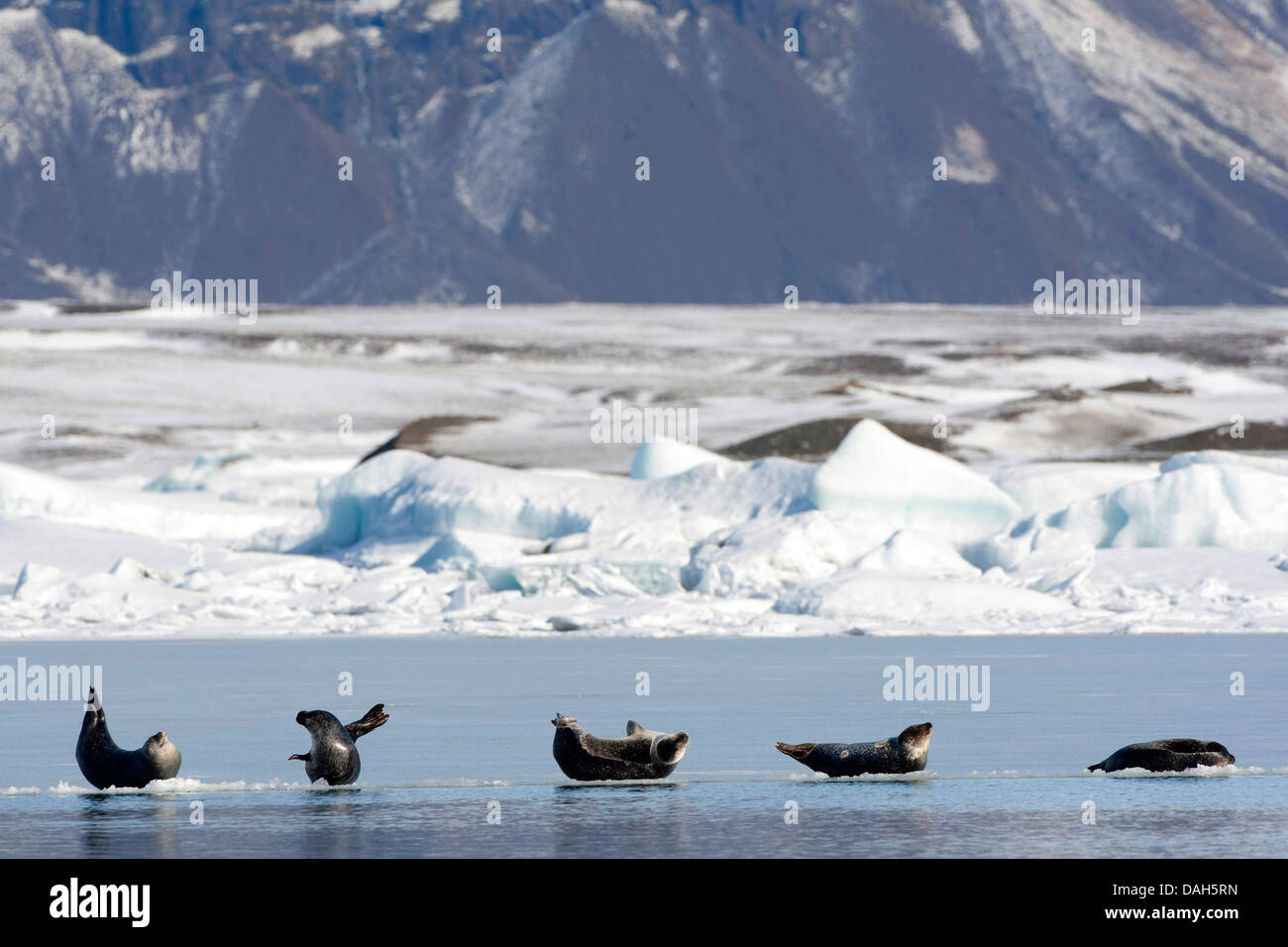 harbor seal, common seal (Phoca vitulina), several seals lying on ice sheet in the iceland glacier lagoon, Iceland - Stock Image