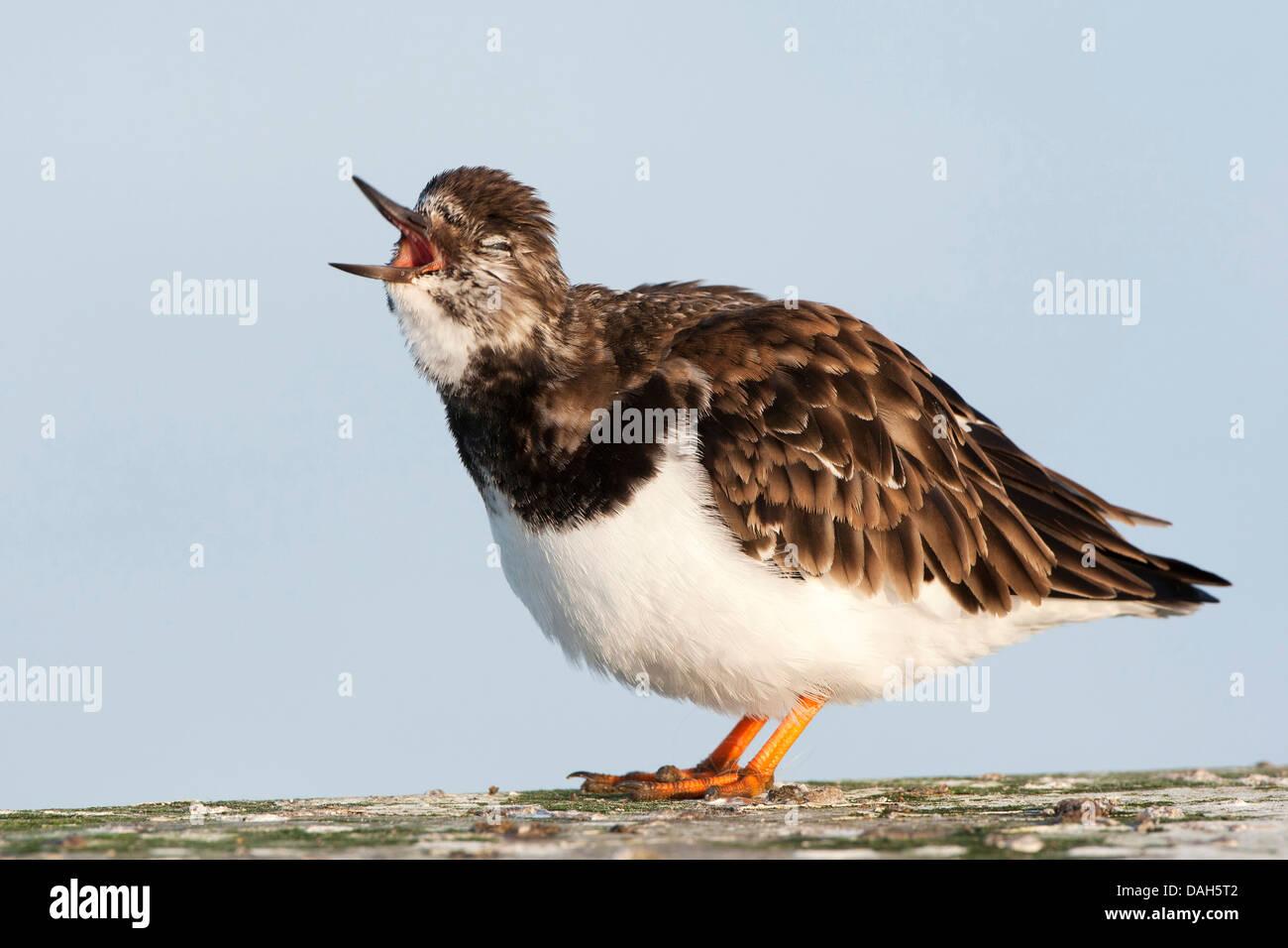 ruddy turnstone (Arenaria interpres), mating call in breeding plumage, Belgium - Stock Image