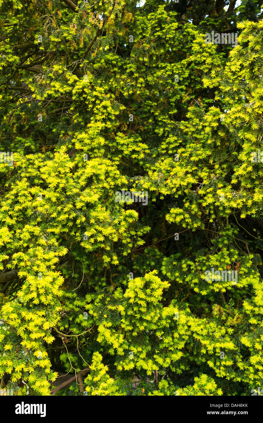 Yew, Taxus baccata, foliage showing new growth, England, July Stock Photo