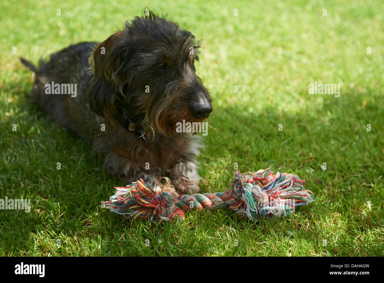 Wire-haired Dachshund (Canis lupus familiaris) lying on meadow - Stock Image