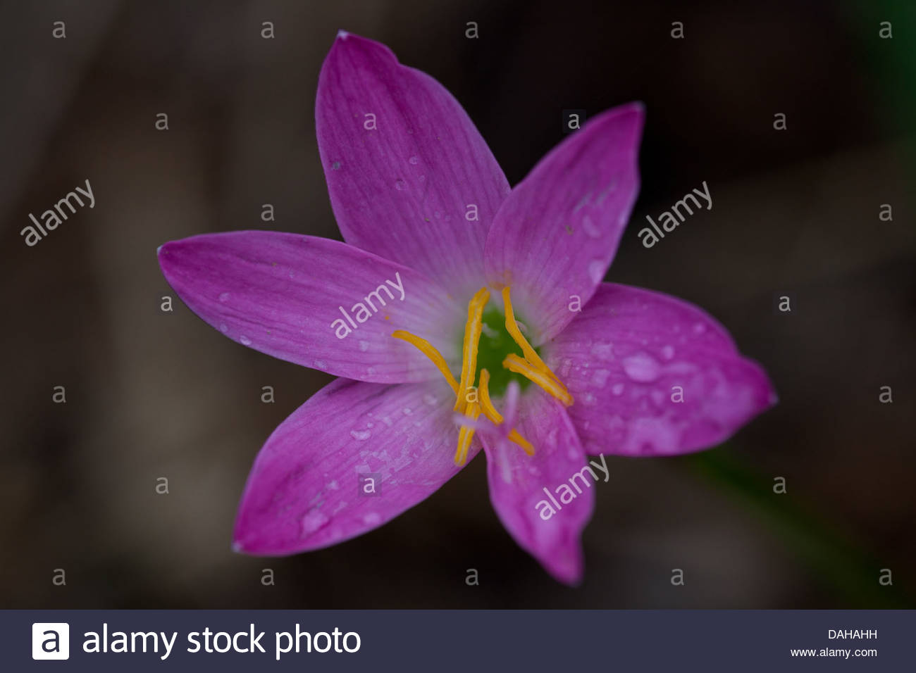 Purple lily flowers in las minas in cocle province republic of purple lily flowers in las minas in cocle province republic of panama izmirmasajfo