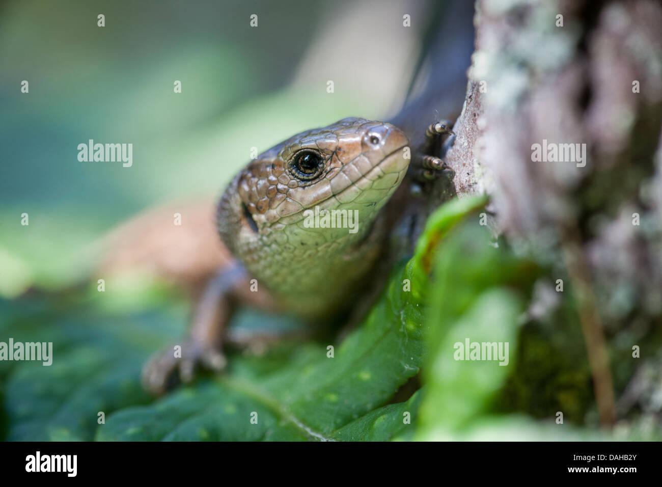 Viviparous lizard, Zootoca vivipara, at Larkollen in Rygge kommune, Østfold fylke, Norway. - Stock Image