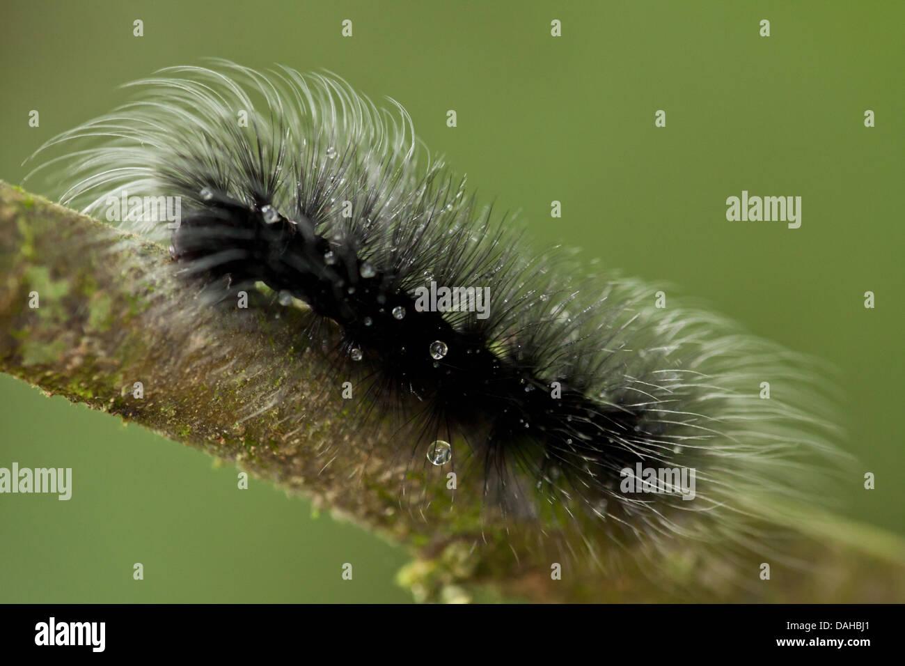 Hairy caterpillar in the rainforest of Altos de Campana National Park, Panama province, Republic of Panama. - Stock Image