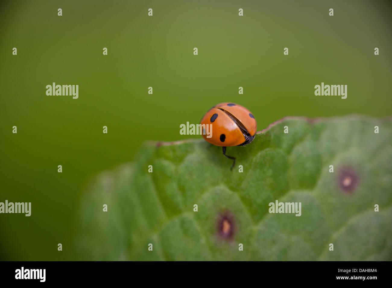 Spotted Ladybug, Coccinella septempunctata, at Evje in Rygge kommune, Østfold fylke, Norway. - Stock Image