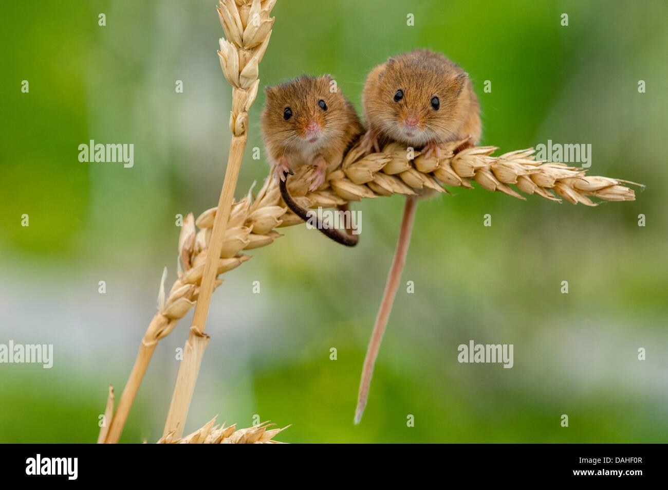 harvest mice,micromys minutus on ears of corn - Stock Image