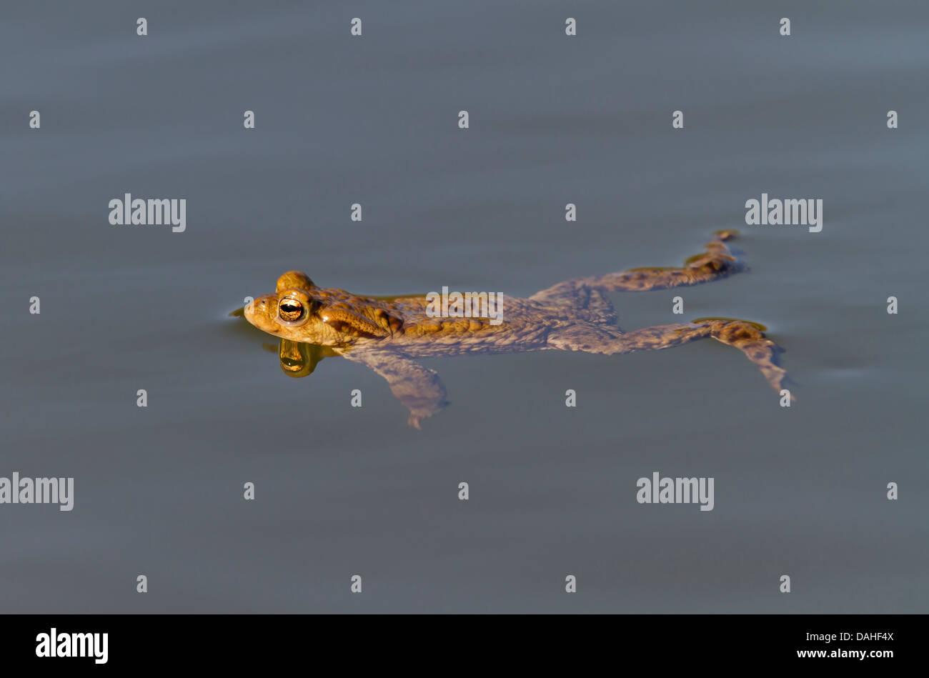 Common toads / Bufo bufo Stock Photo