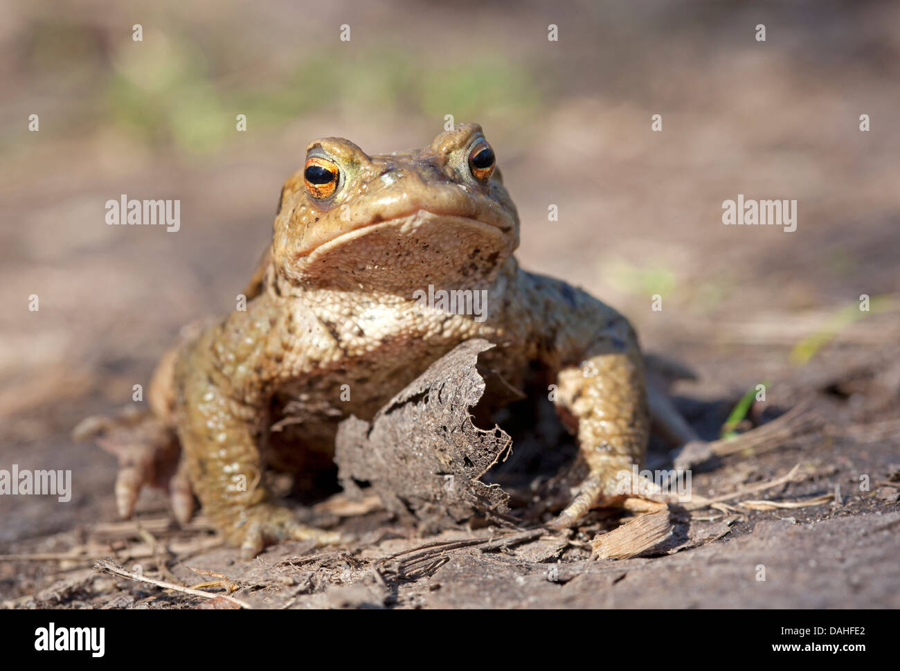 Toad migration, common toad / Bufo bufo Stock Photo