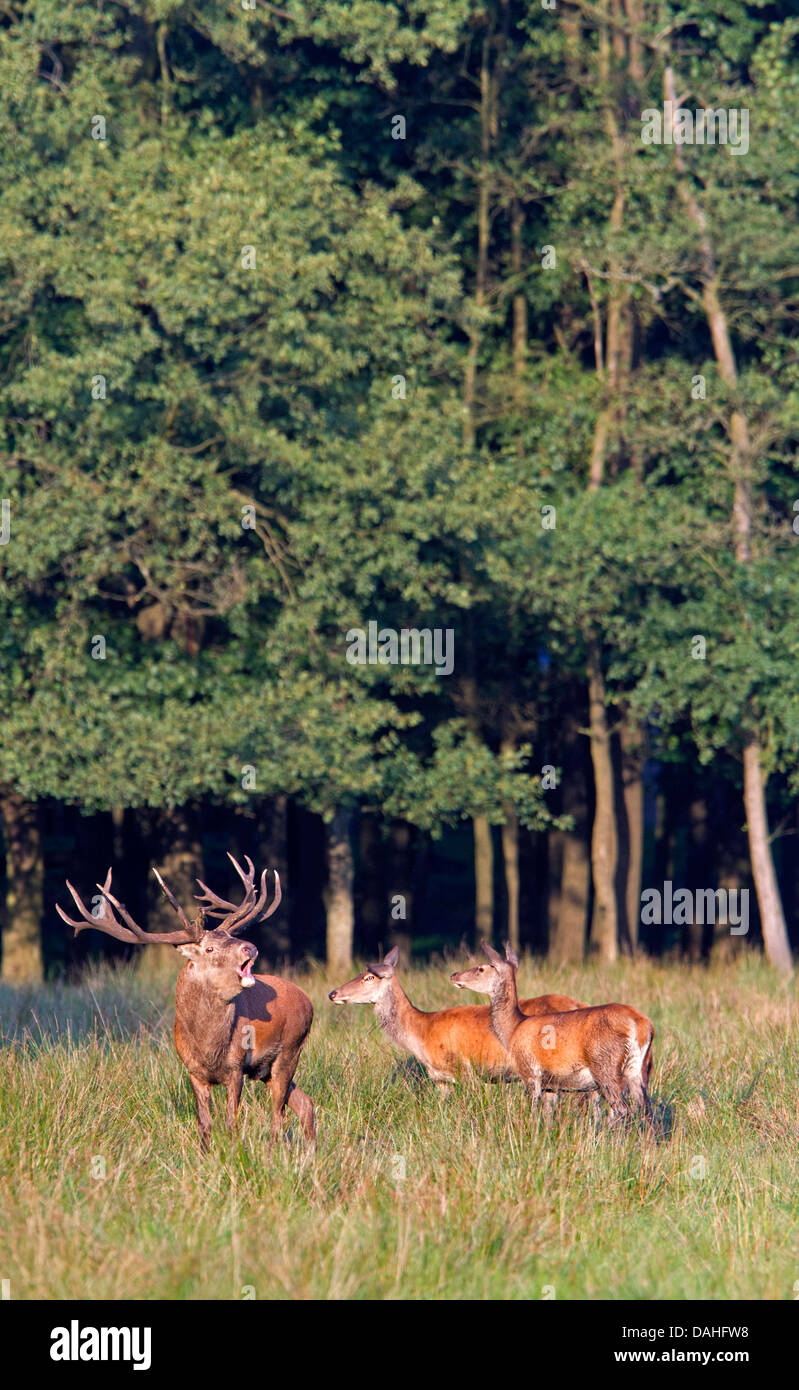 Red Deer / Cervus elaphus Stock Photo
