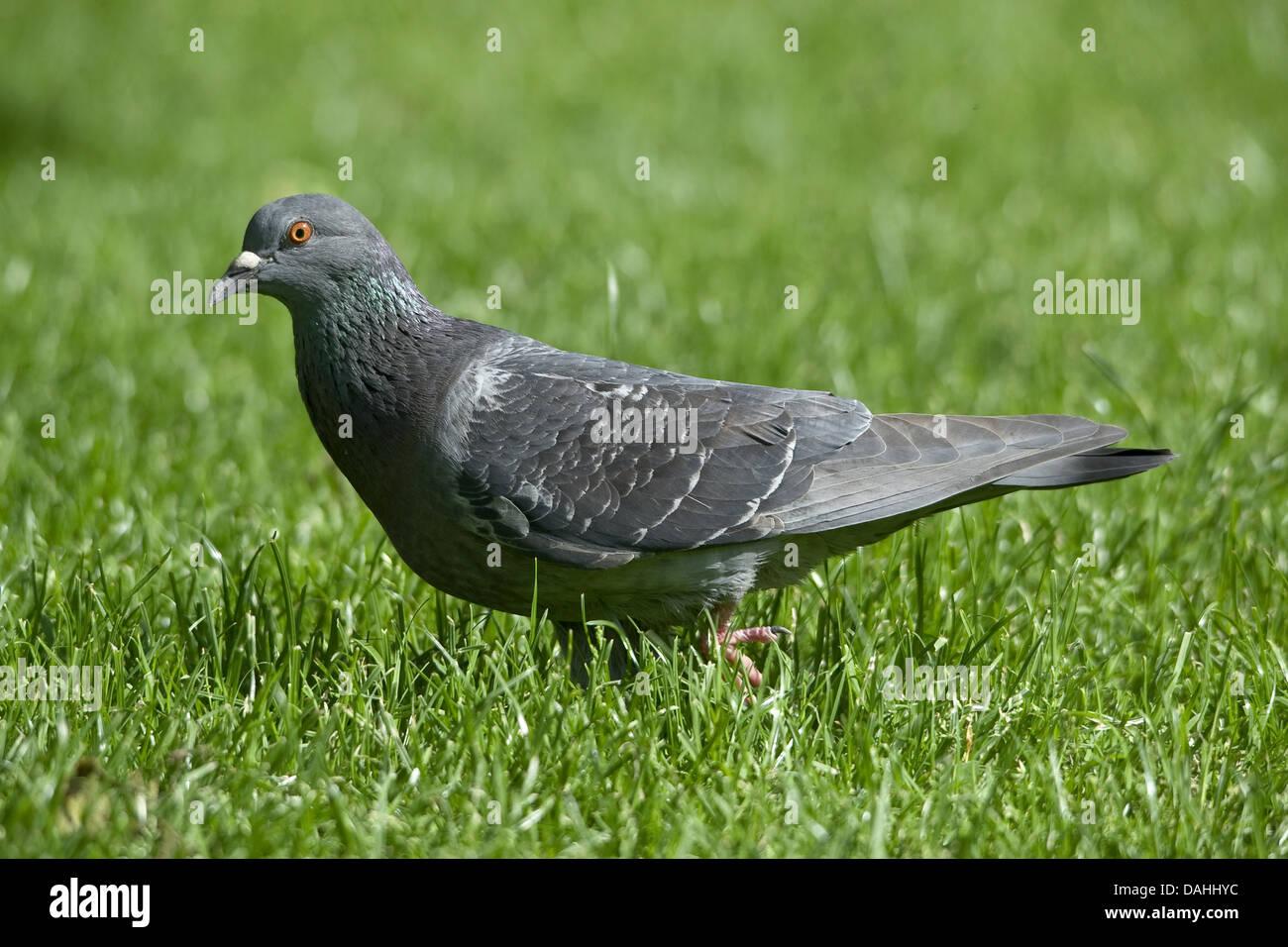 Rock Pigeons Stock Photos Amp Rock Pigeons Stock Images Alamy