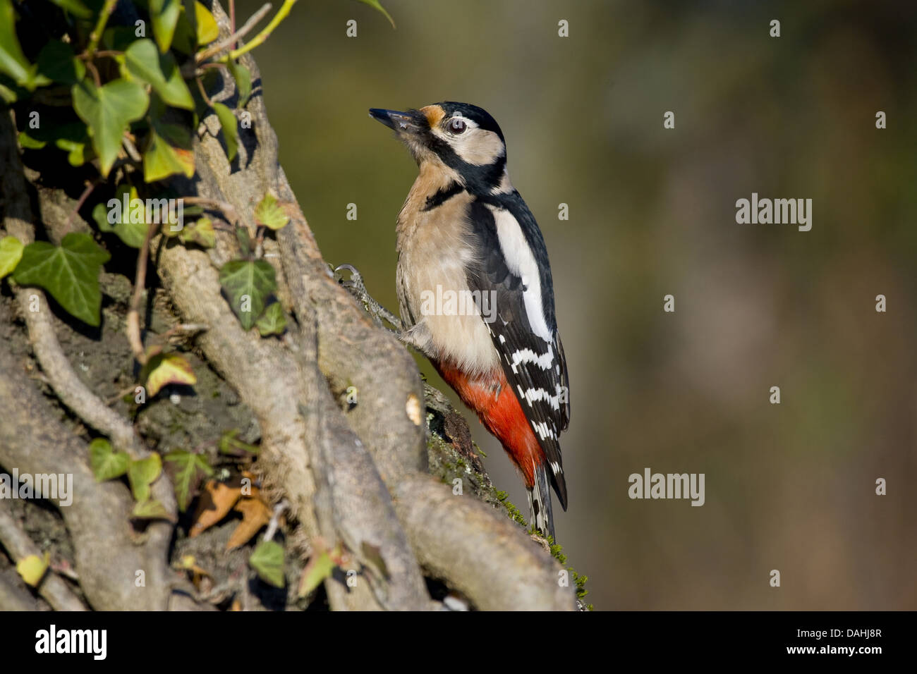 great spotted woodpecker, dendrocopos major - Stock Image