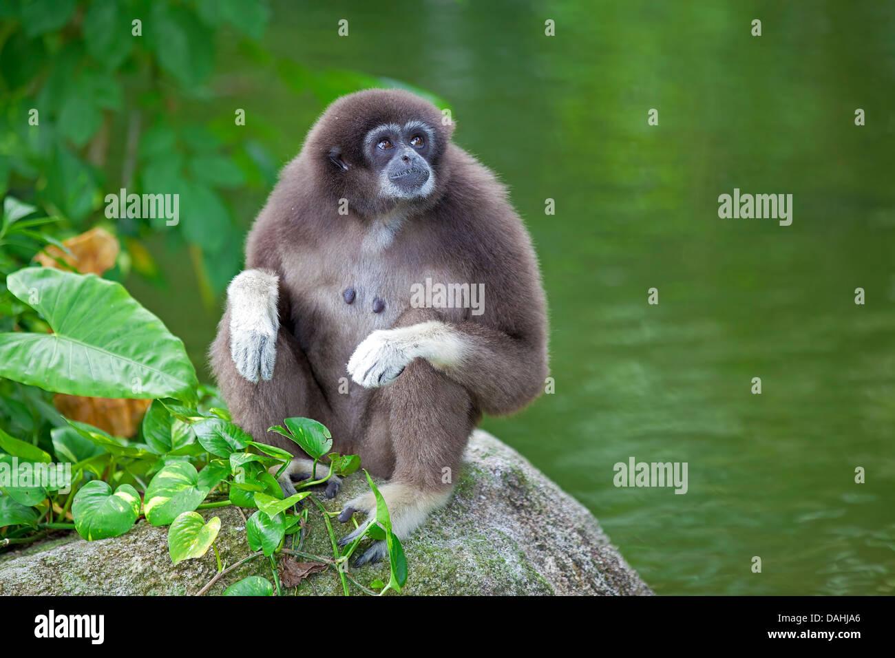 Gibbon Monkey - Stock Image