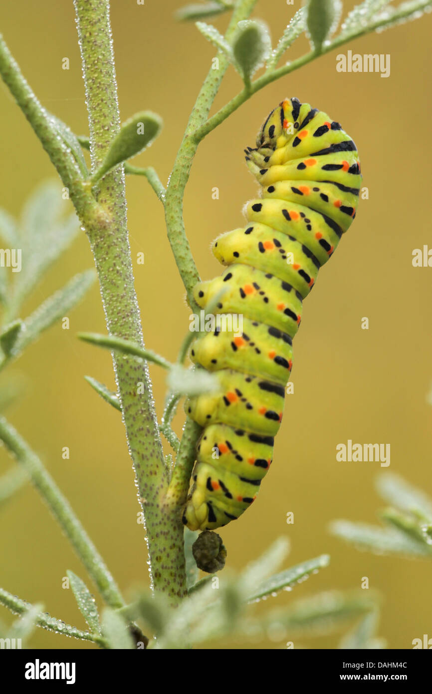 Common yellow swallowtail (Papilio machaon) caterpillar on a twig - Stock Image