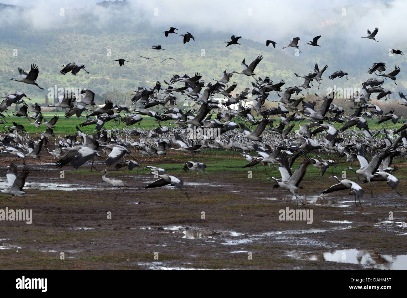 a large flock of Common crane (Grus grus) Silhouetted at dawn. Large migratory crane species that lives in wet meadows and marsh Stock Photo