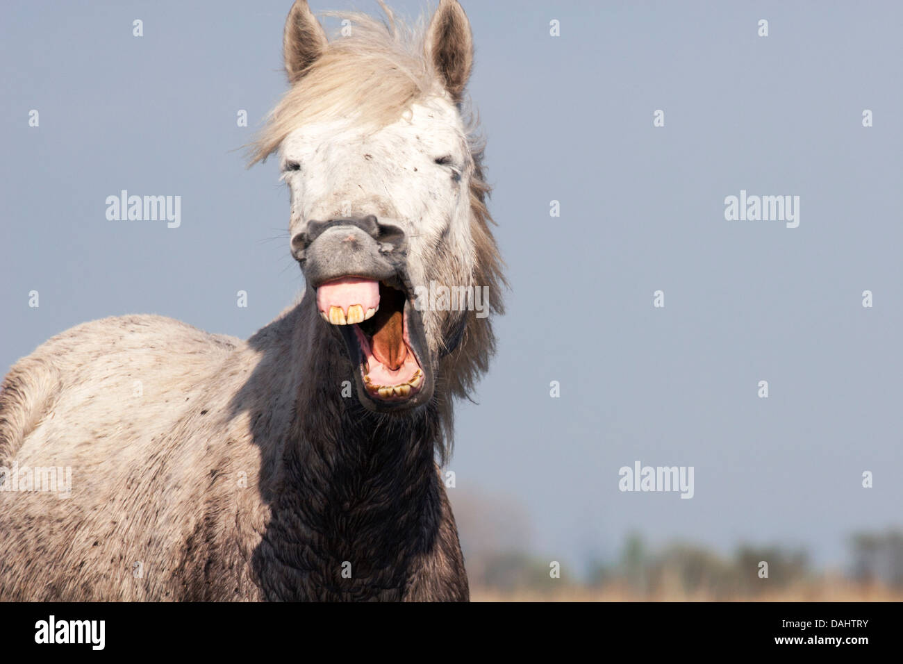 Muddy Horse Making Funny Face Stock Photo Alamy