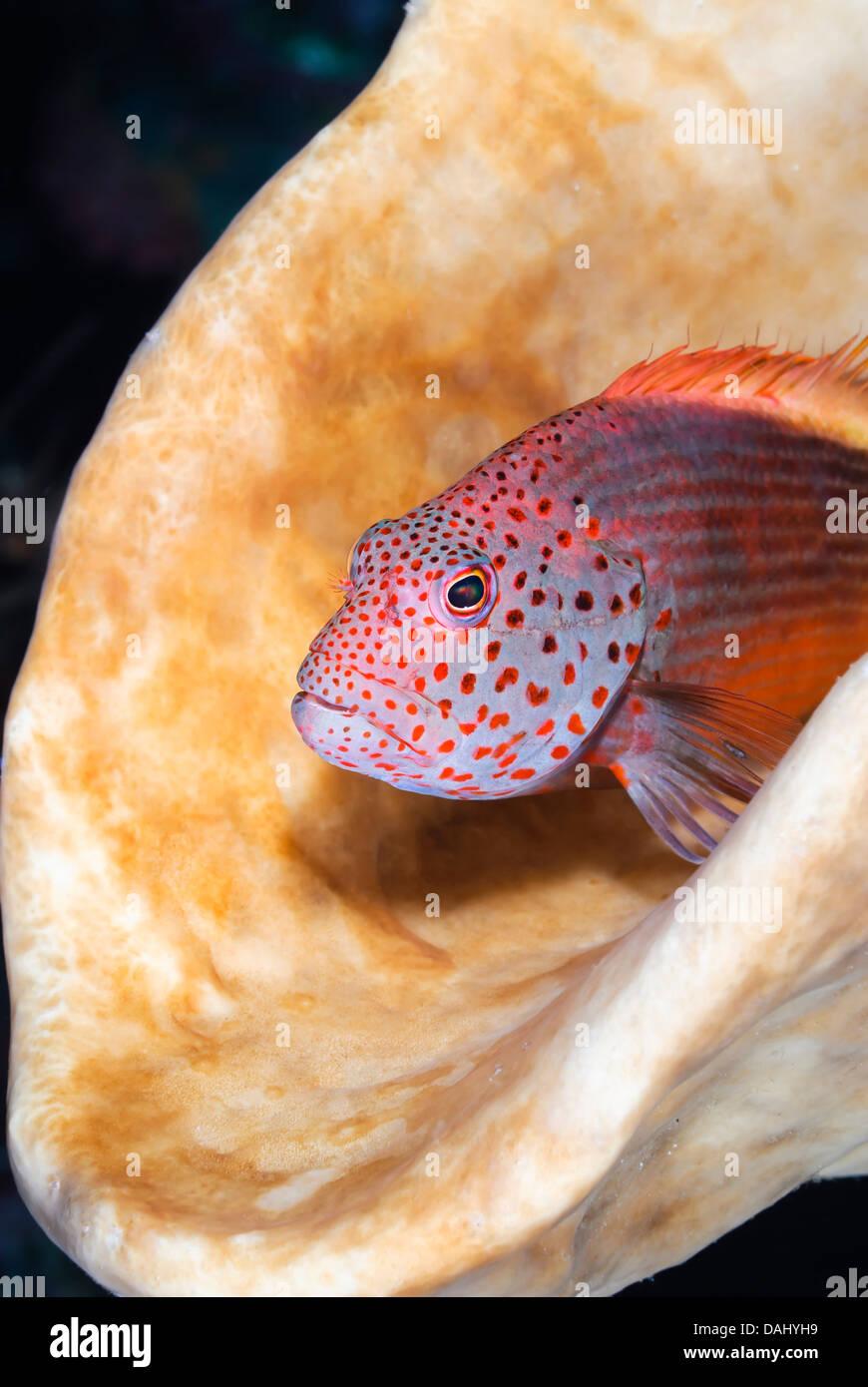 Freckled hawkfish, Paracirrhites forsteri, Bunaken Marine Park, North Sulawesi, Indonesia, Pacific - Stock Image