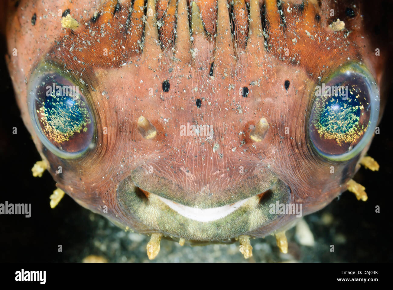 Balloonfish, Diodon holocanthus, Lembeh Strait, Sulawesi, Indonesia, Pacific - Stock Image