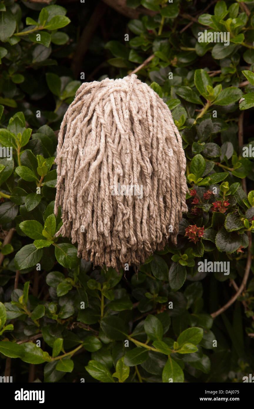 Mop head in escalonia bush - Stock Image