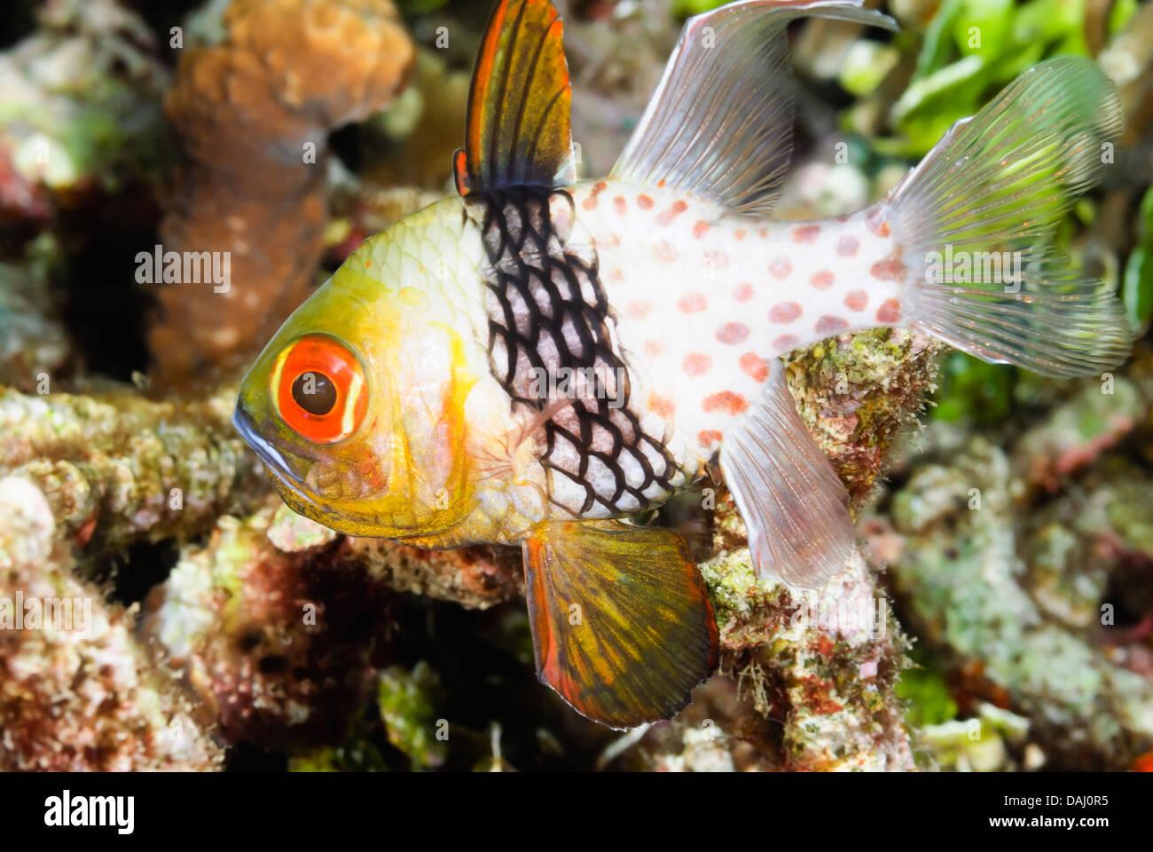 Pyjama cardinalfish, Sphaeramia nematoptera, Lembeh Strait, Sulawesi, Indonesia, Pacific - Stock Image