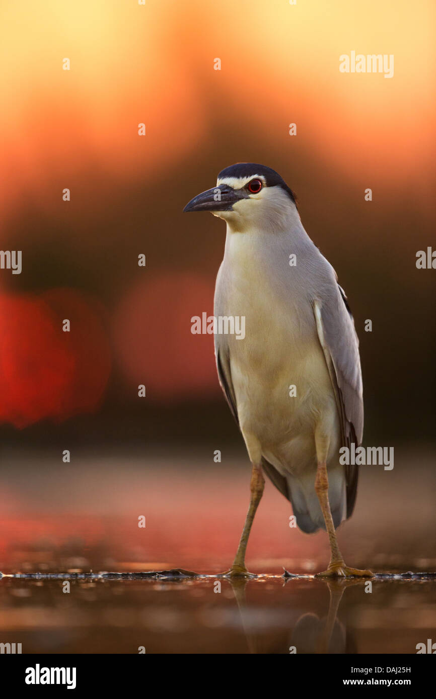 A wild adult black-crowned night heron (Nycticorax nycticorax) in pre-dawn red light - Stock Image