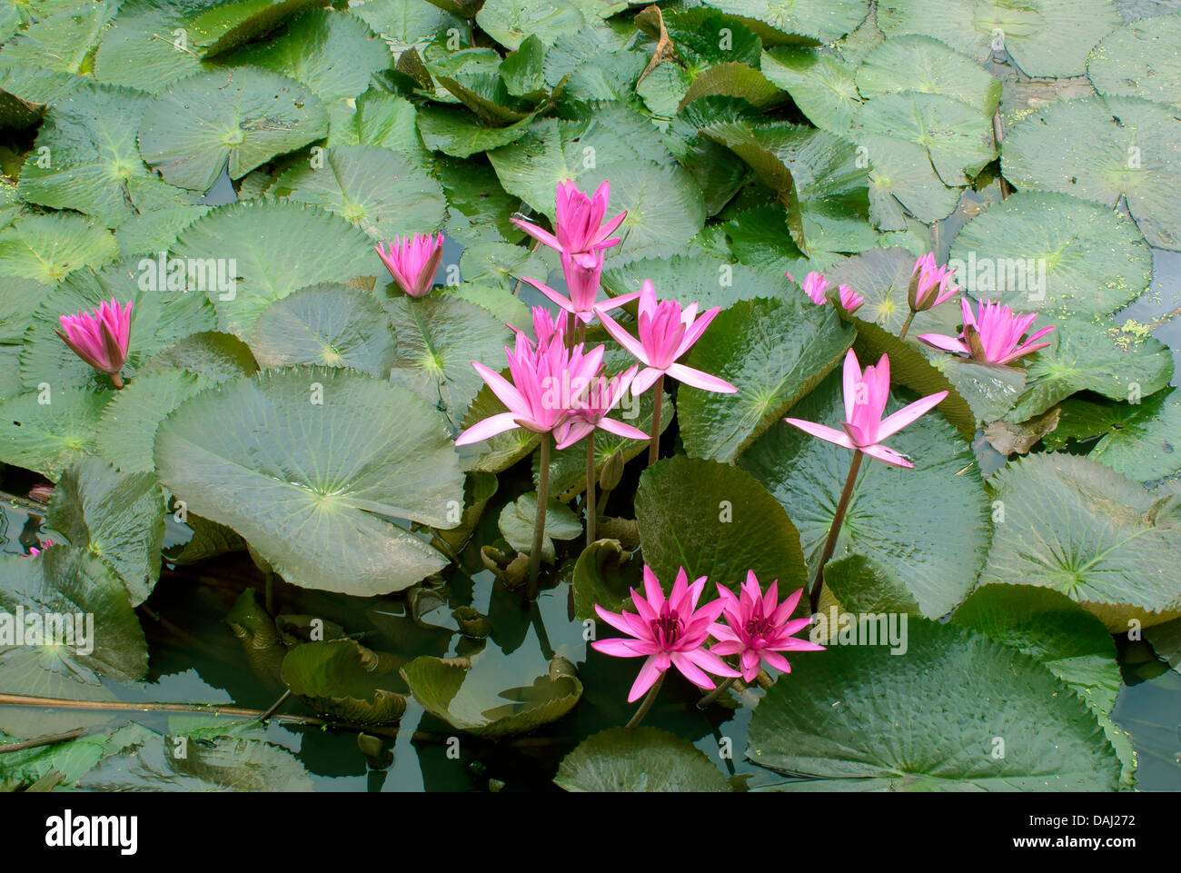 Image Of A Lotus Flower On The Water Flowers Blooming Nature Stock