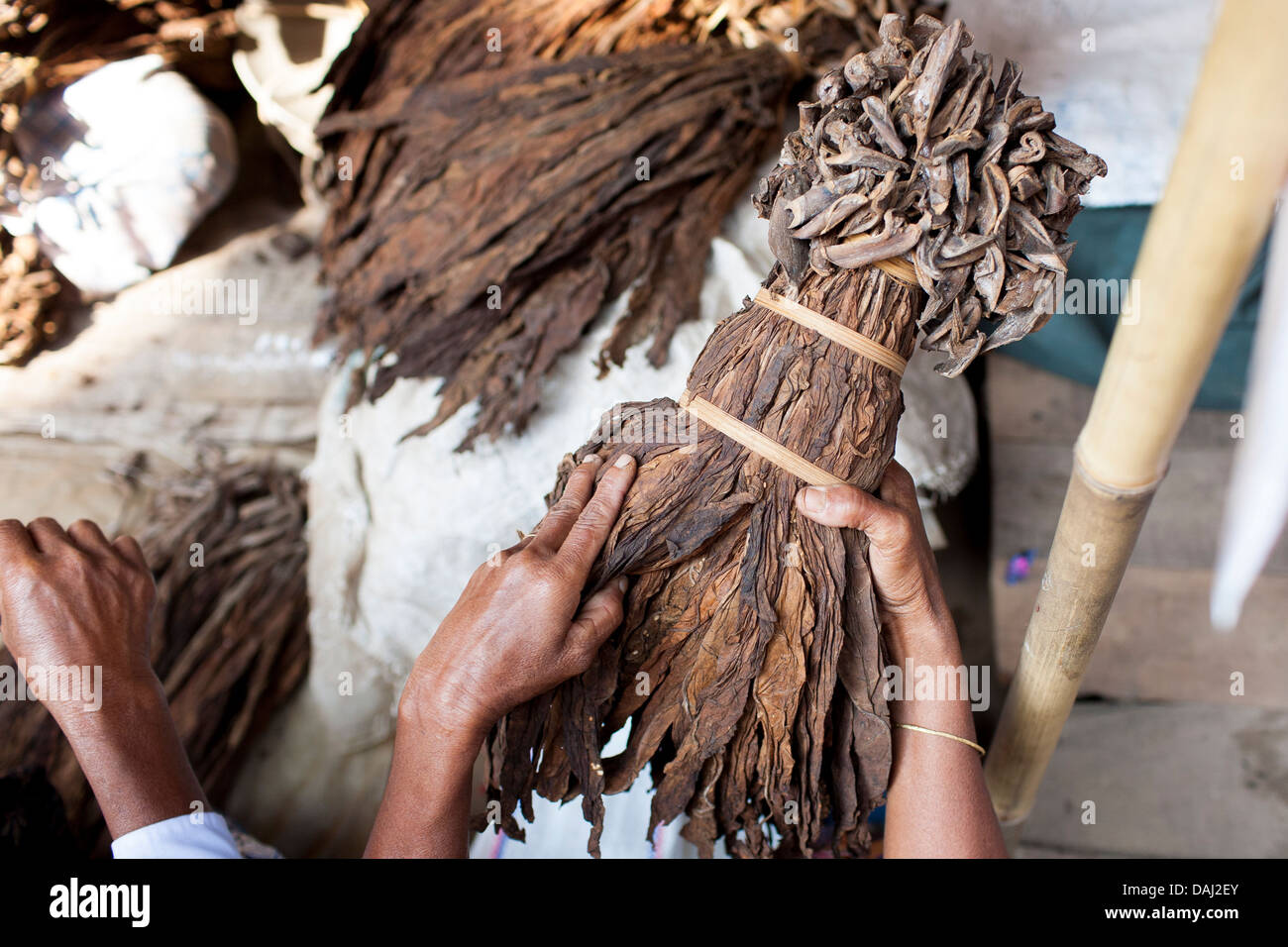 A tribal woman examines a bundle of rough tobacco leaves at the market in Banderban in the Chittagong Hill Tracts - Stock Image