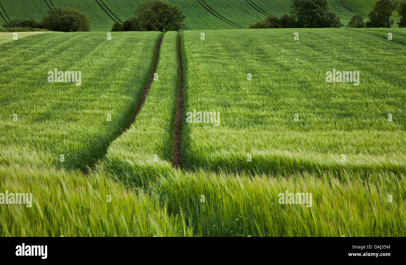 Leading lines empty pathway through shades of green wheatfield landscape scene, path through field, Westmeath, Ireland, - Stock Image