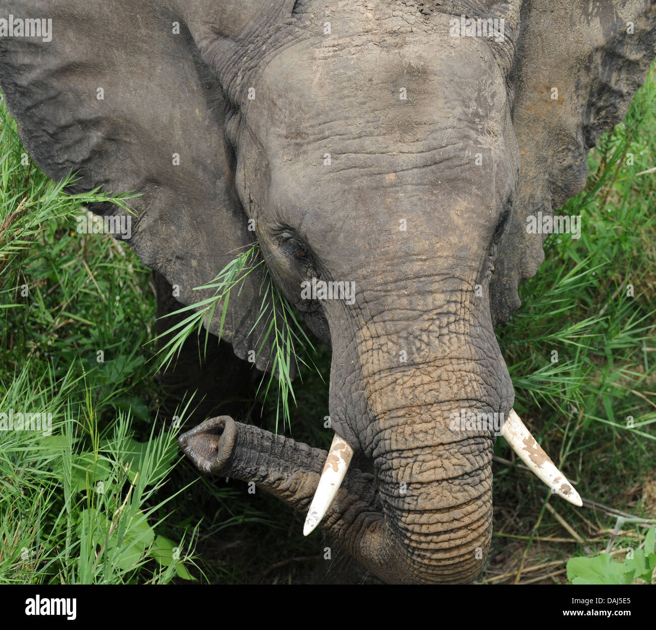 portrait young bull elephant in tall grass - Stock Image