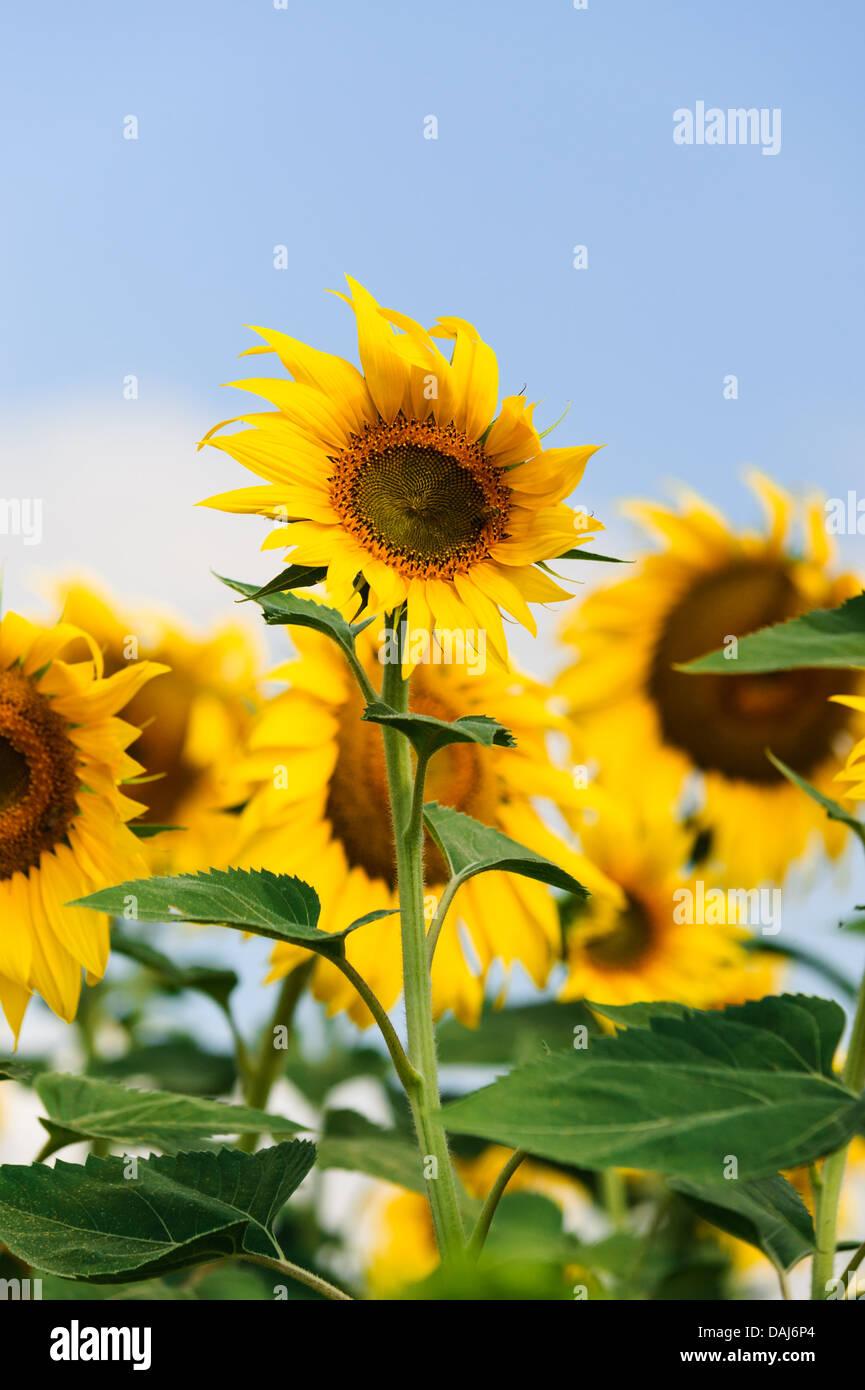 sunflowers genetically modified gmo in the field in near Edirne Turkey - Stock Image