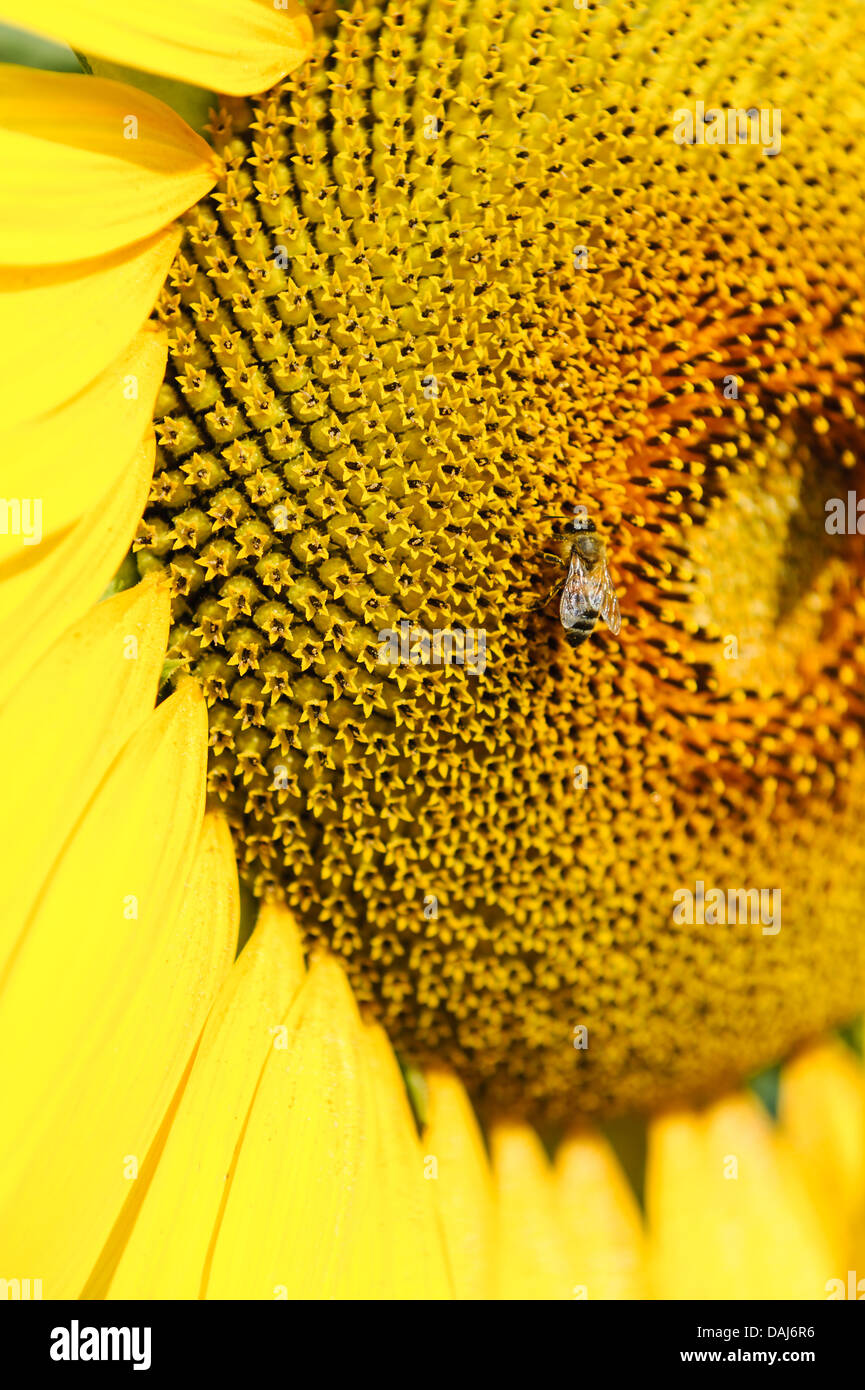 Bee on the genetically modified sunflower GMO closeup - Stock Image