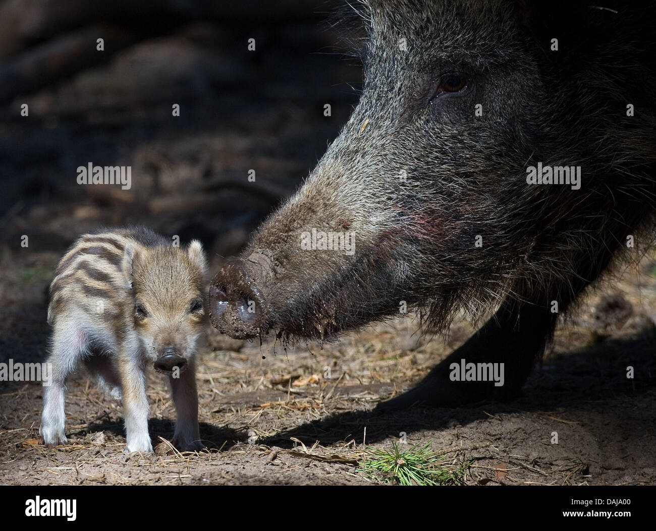 A young boar of few days age stands in the wildlife park in Klaistow, Germany, 28 March 2011. Two wild sows - Stock Image