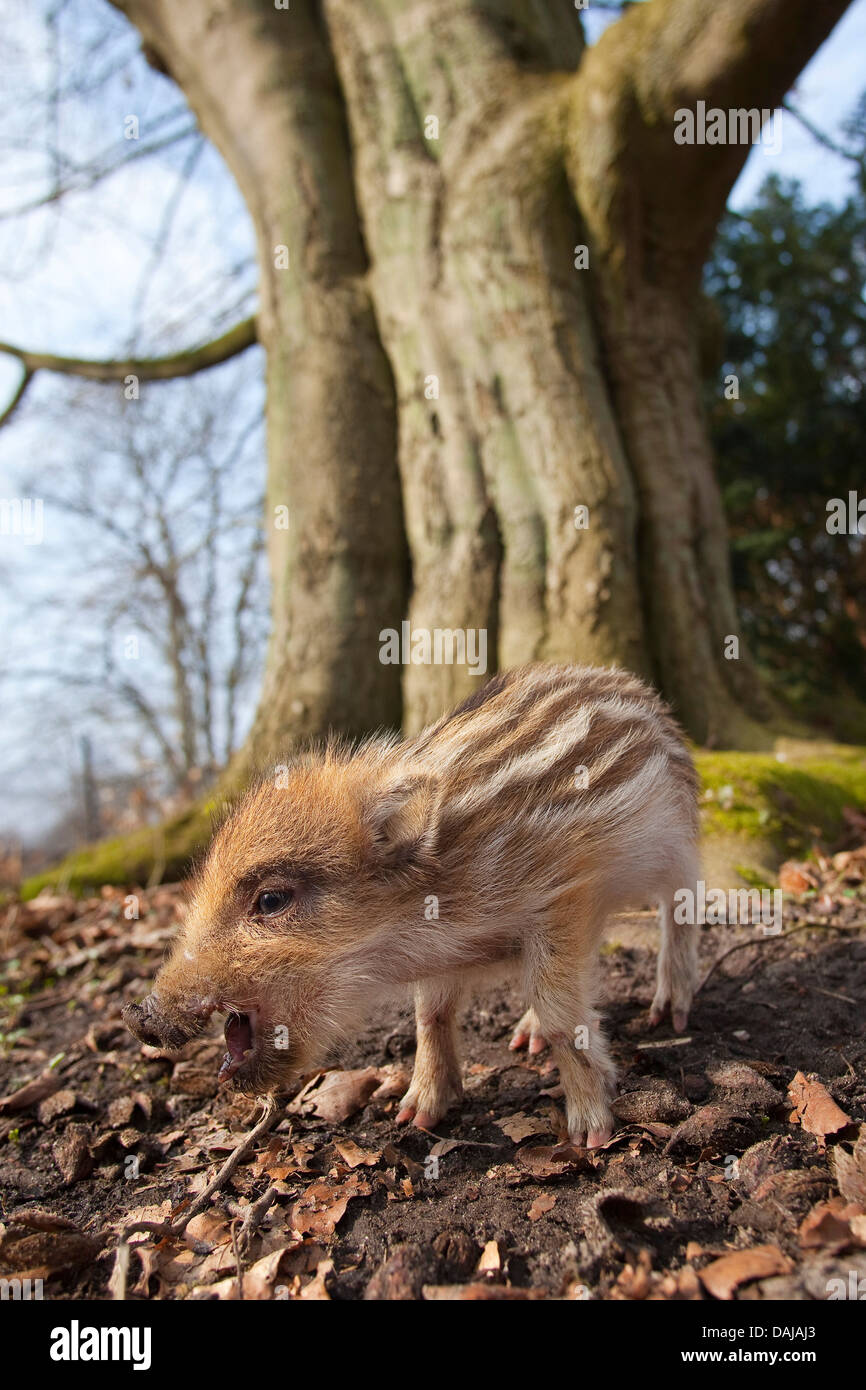 wild boar, pig, wild boar (Sus scrofa), shote standing in front of an old tree and squeaking, Germany - Stock Image