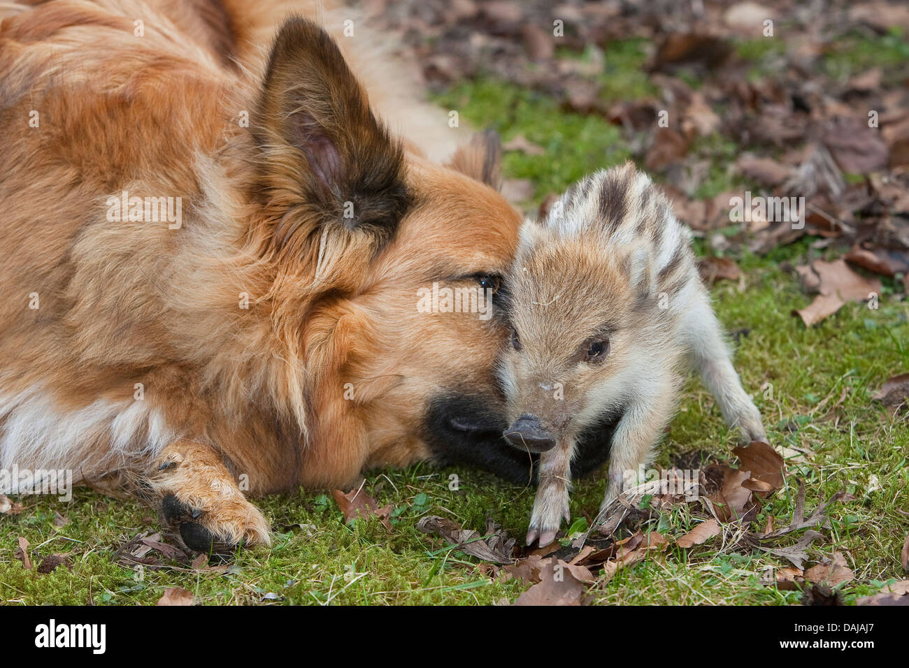 wild boar, pig, wild boar (Sus scrofa), gentle young animal playing with a dog in the garden, Germany - Stock Image
