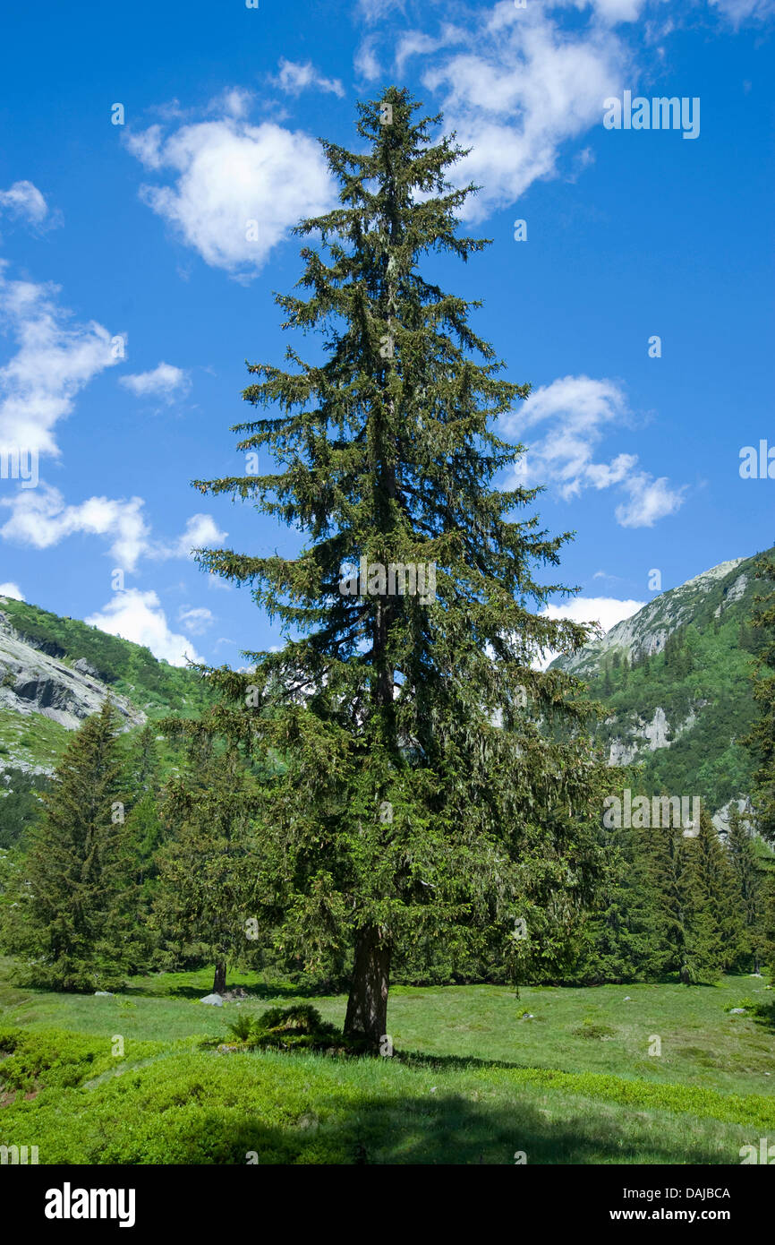 Norway spruce (Picea abies), single tree in the mountains, Switzerland Stock Photo