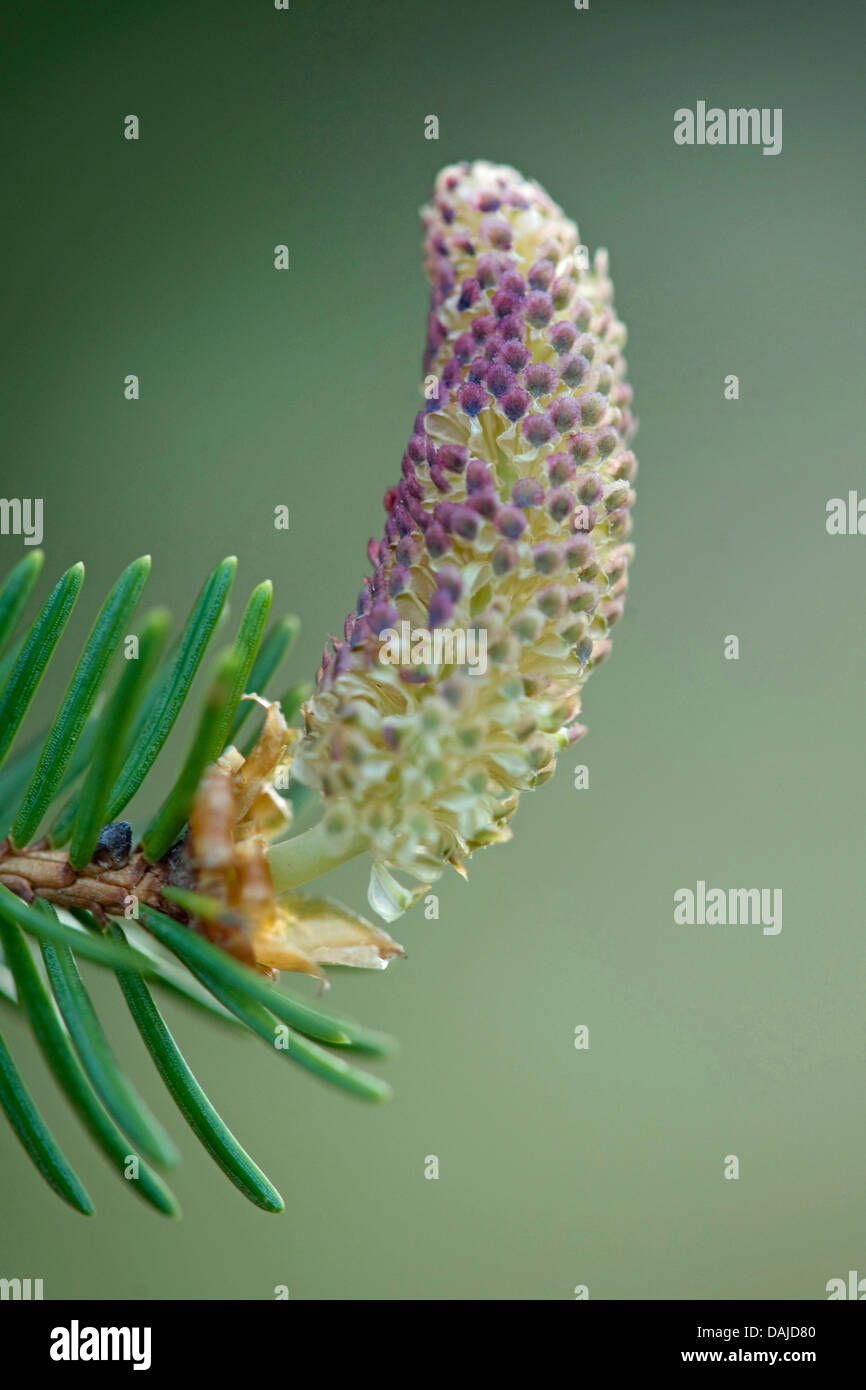 Norway spruce (Picea abies), male flower, Germany - Stock Image
