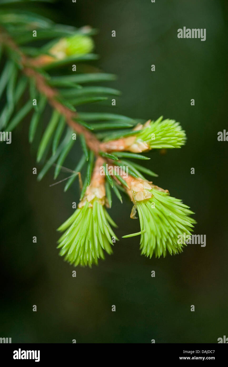 Norway spruce (Picea abies), shoot in spring, Germany - Stock Image