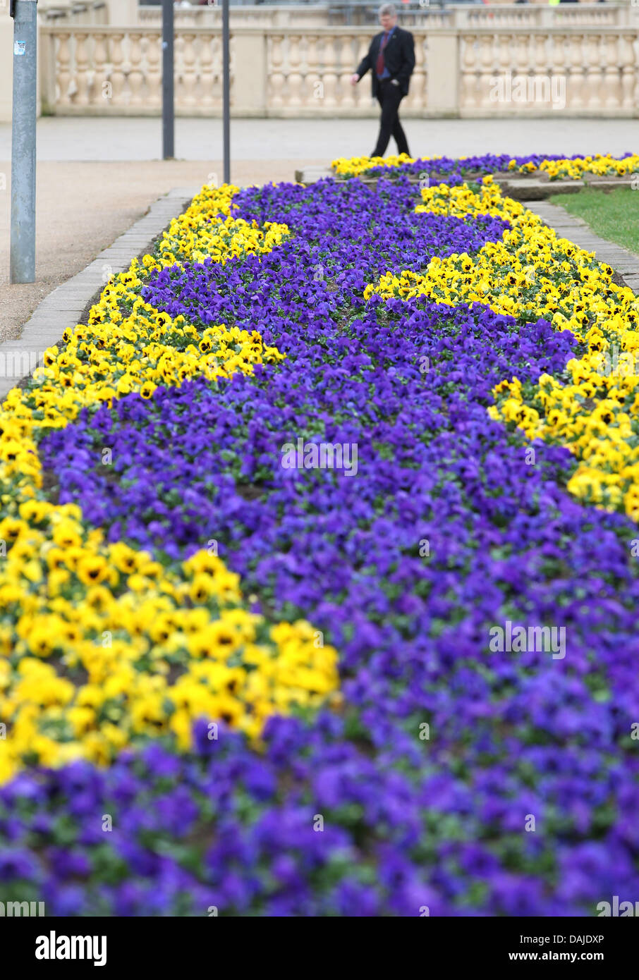 Yellow and blue pansies cover the city centre in schwerin germany yellow and blue pansies cover the city centre in schweringermany 06 dajdxpg mightylinksfo