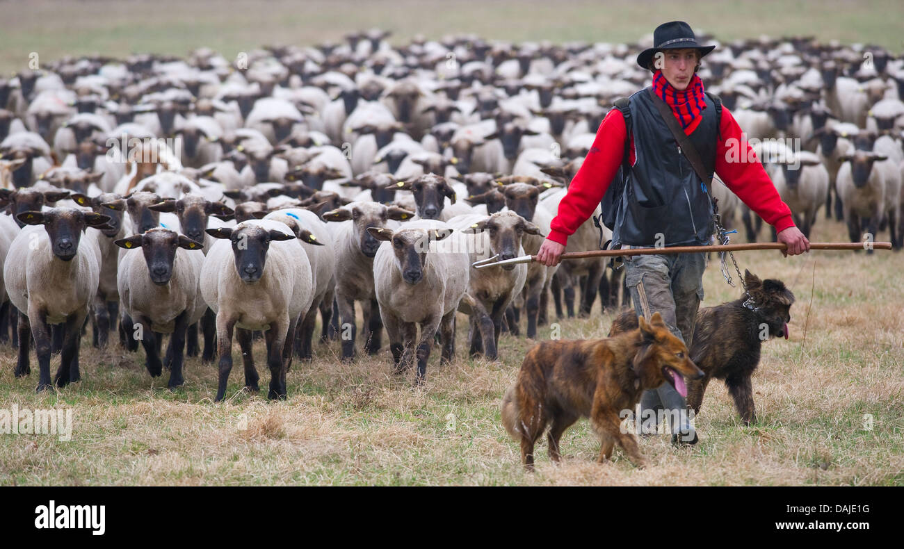 Shepherd apprentice Marcel Franke guides with his dogs a flock of sheep across a meadow  in Altlandsberg, Germany, Stock Photo