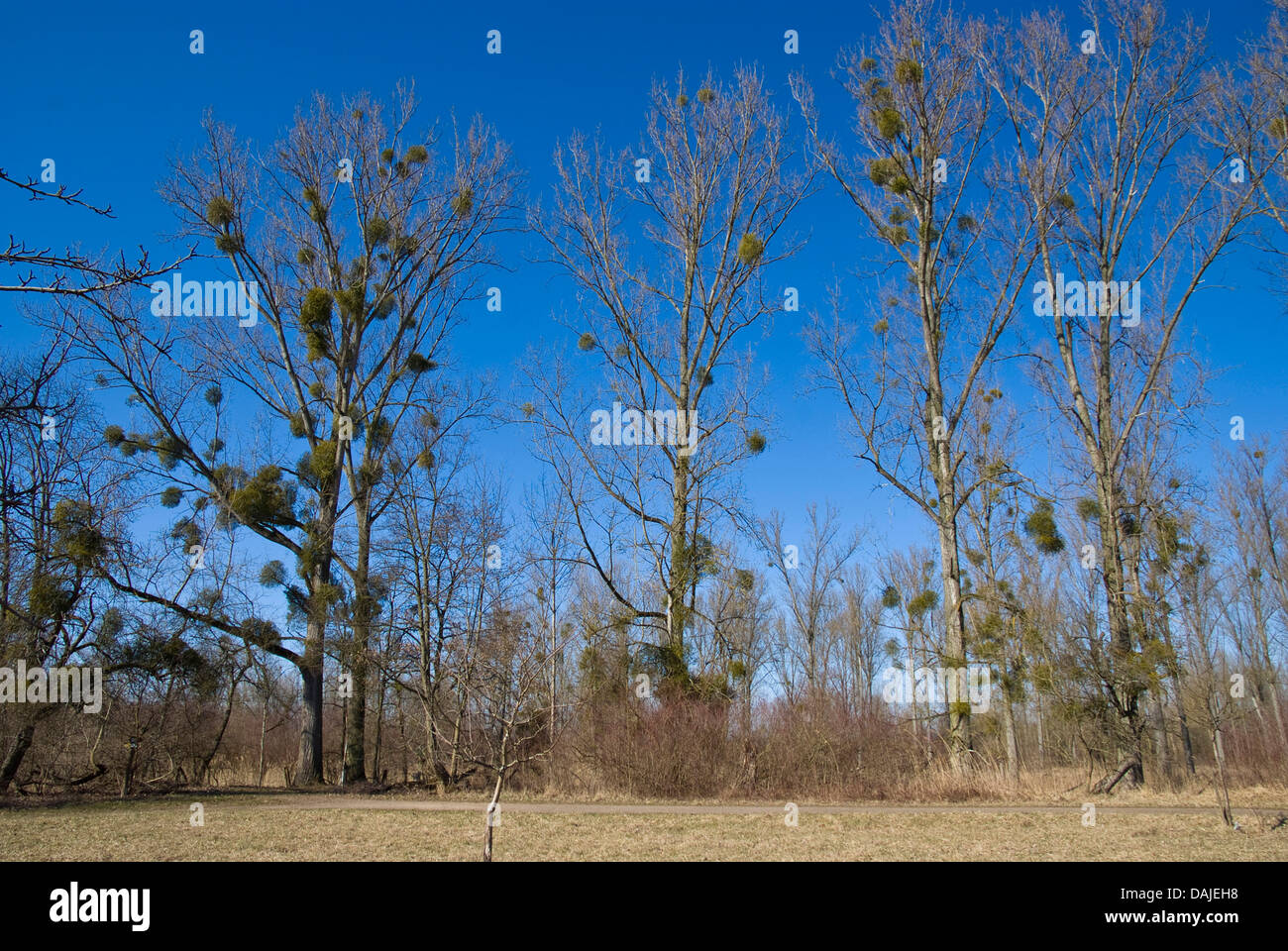 Canadian Poplar (Populus x canadensis), trees in winter with mistletoes, Visum album, Germany - Stock Image