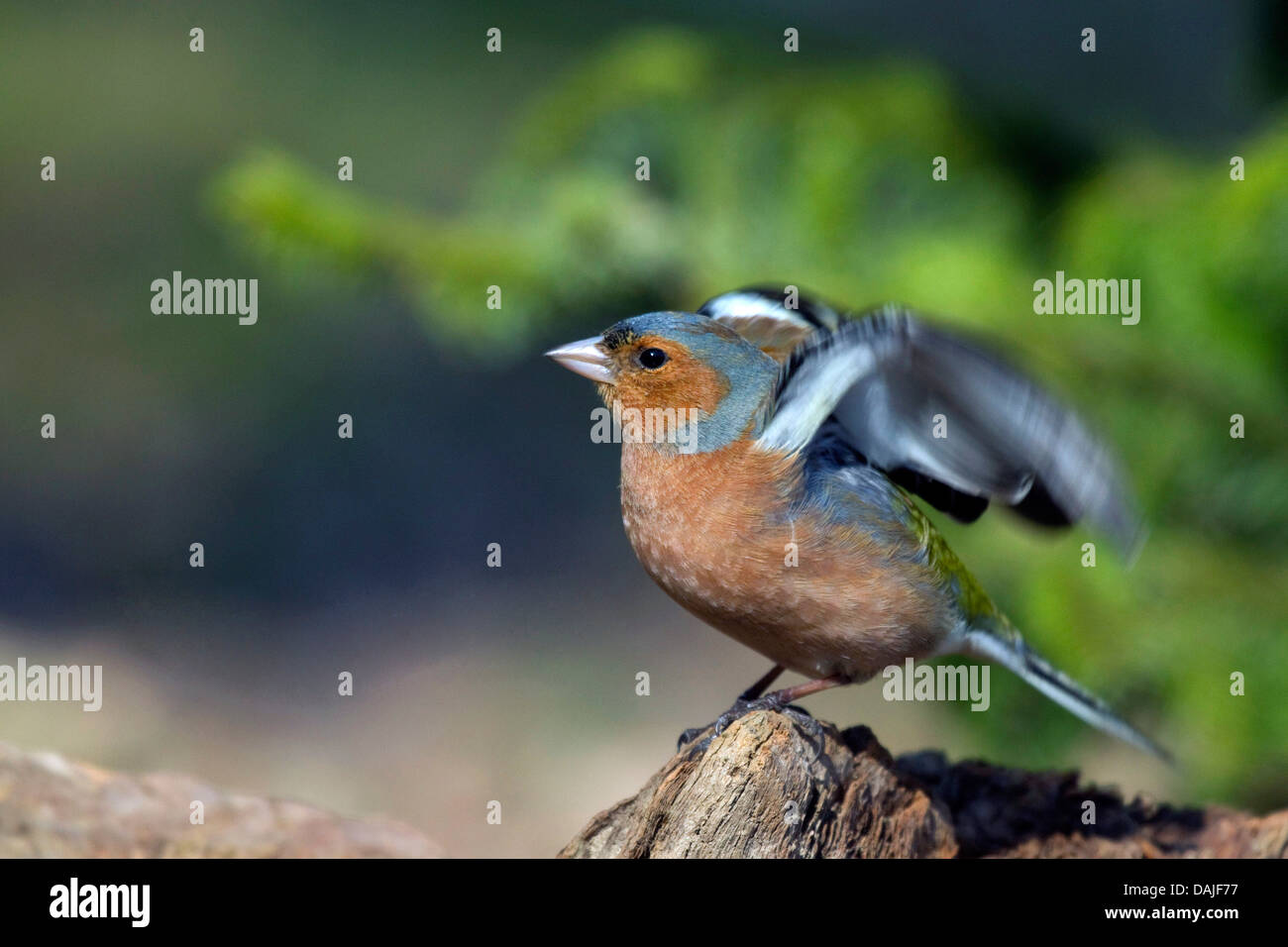 chaffinch (Fringilla coelebs), male in nuptial colouration flapping wings, Germany - Stock Image