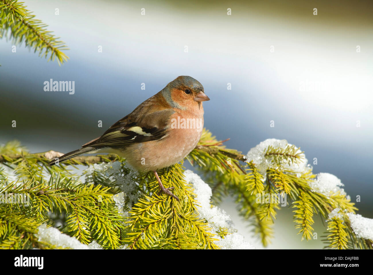 chaffinch (Fringilla coelebs), male sitting on a spruce twig, Germany - Stock Image
