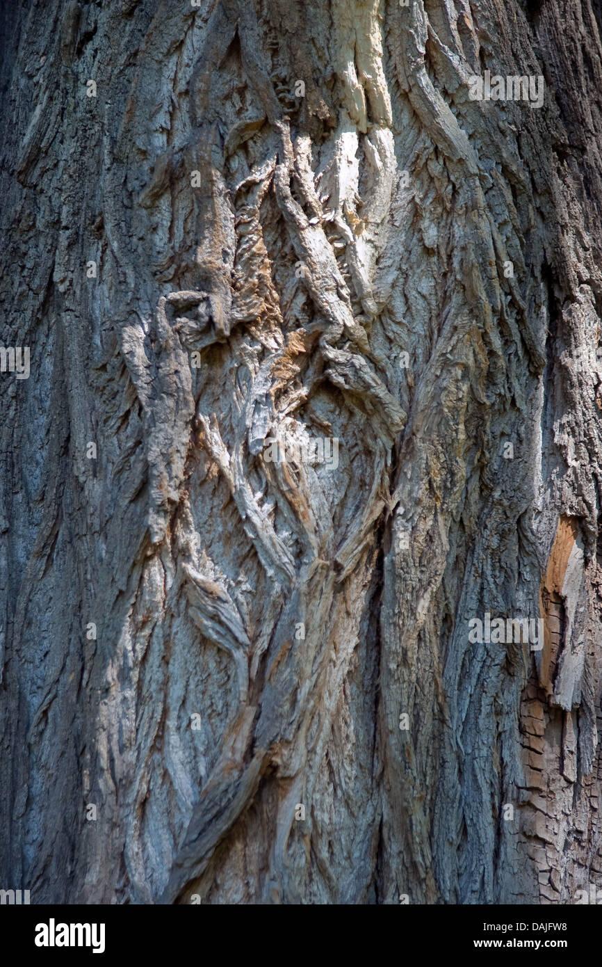 black poplar, balm of gilead, black cottonwood (Populus nigra), bark, Germany - Stock Image