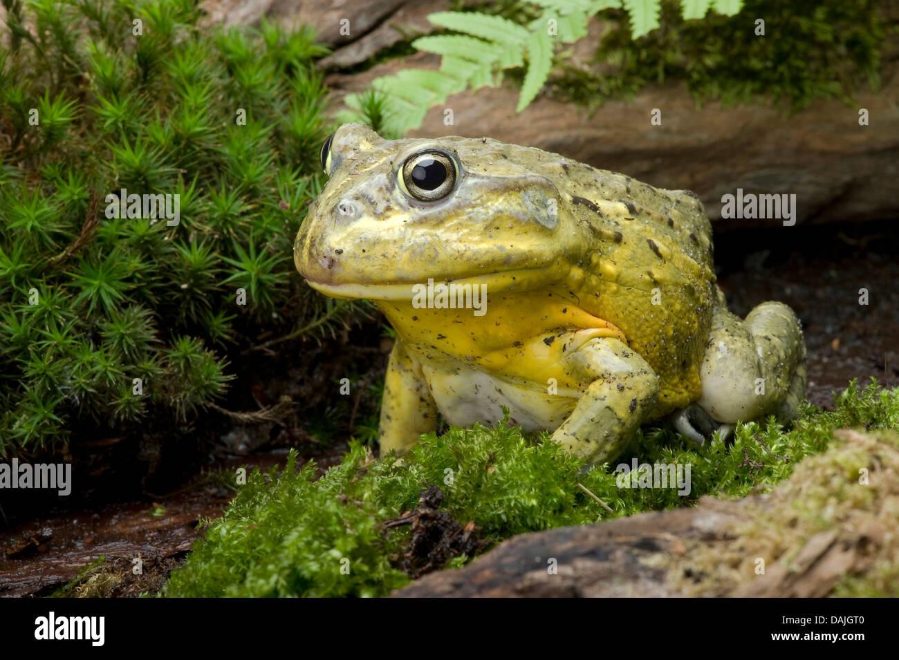 Tschudi's African bullfrog, Gaint bull frog, African Bullfrog (Pyxicephalus adspersus, Afrikanischer Grabfrosch), - Stock Image