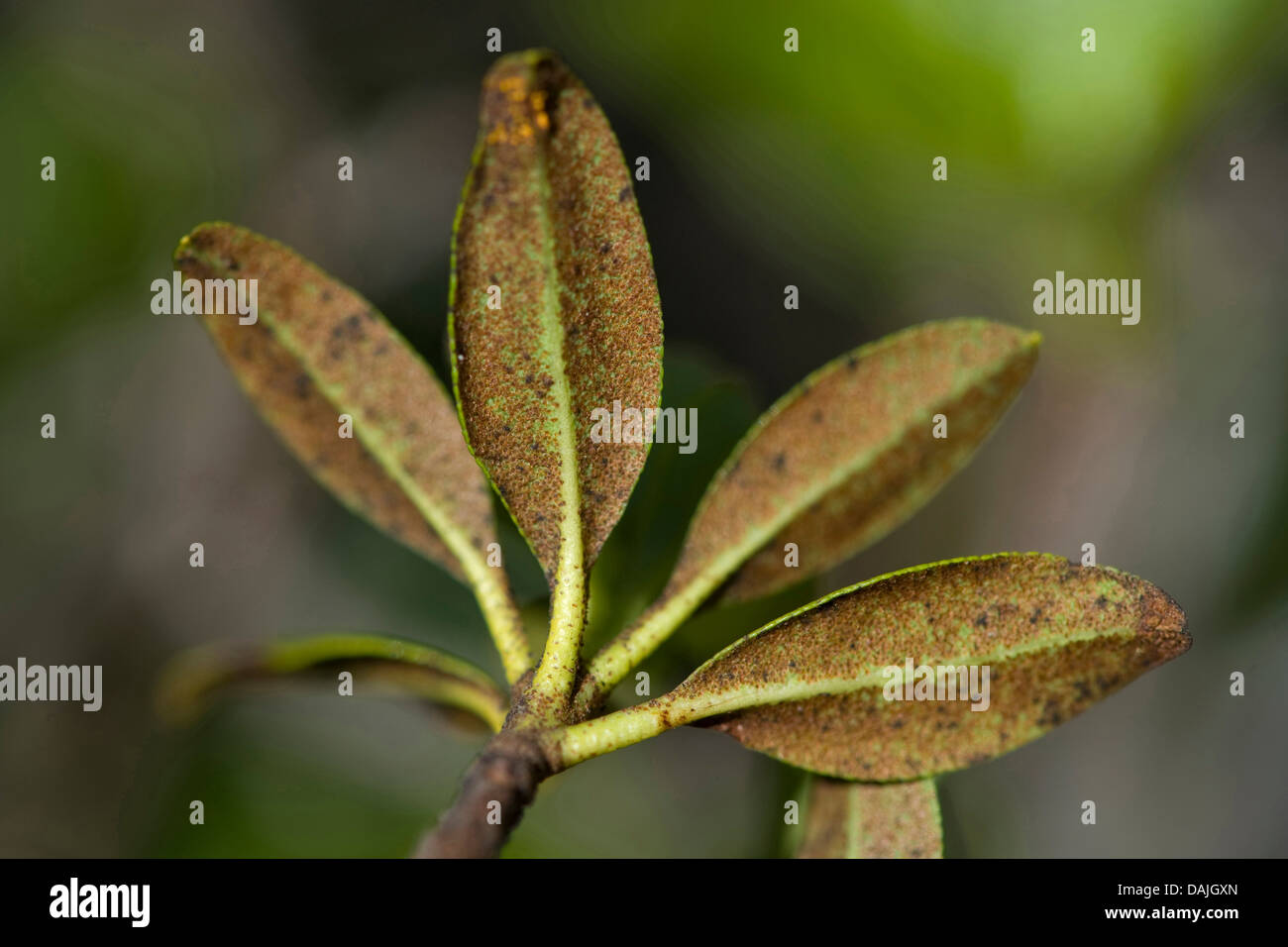 rust leaved alpine rose rhododendron ferrugineum leaves from stock photo 58186093 alamy. Black Bedroom Furniture Sets. Home Design Ideas