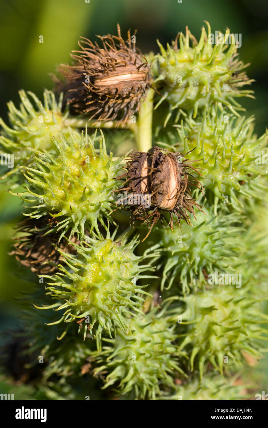 Castor-oil Plant, Castor Oil Plant, Ricin, Castor Bean