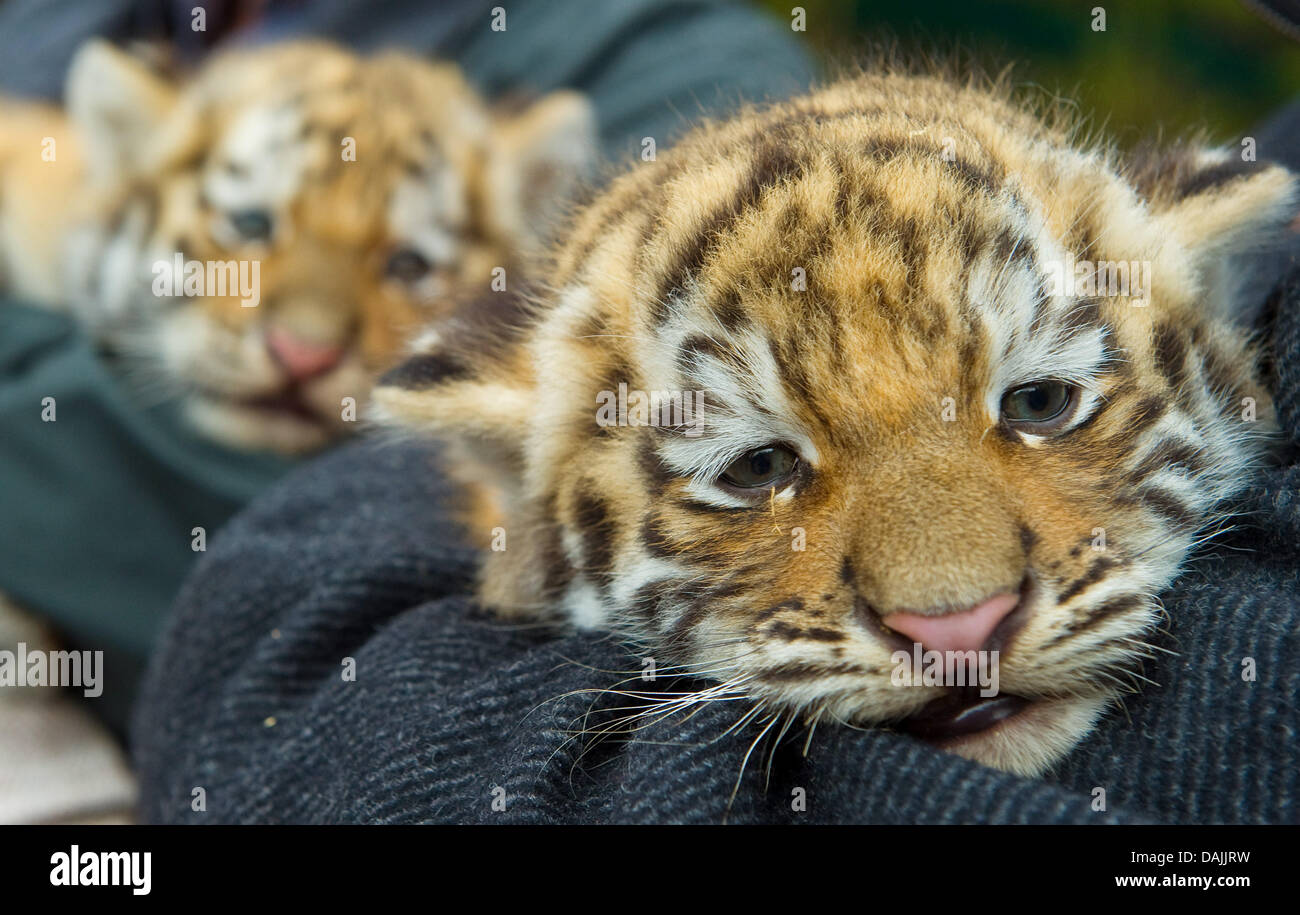 Two baby tigers are presented at the zoo in Eberswalde, Germany, 14 April 2011. They were born on 28 February. In Stock Photo