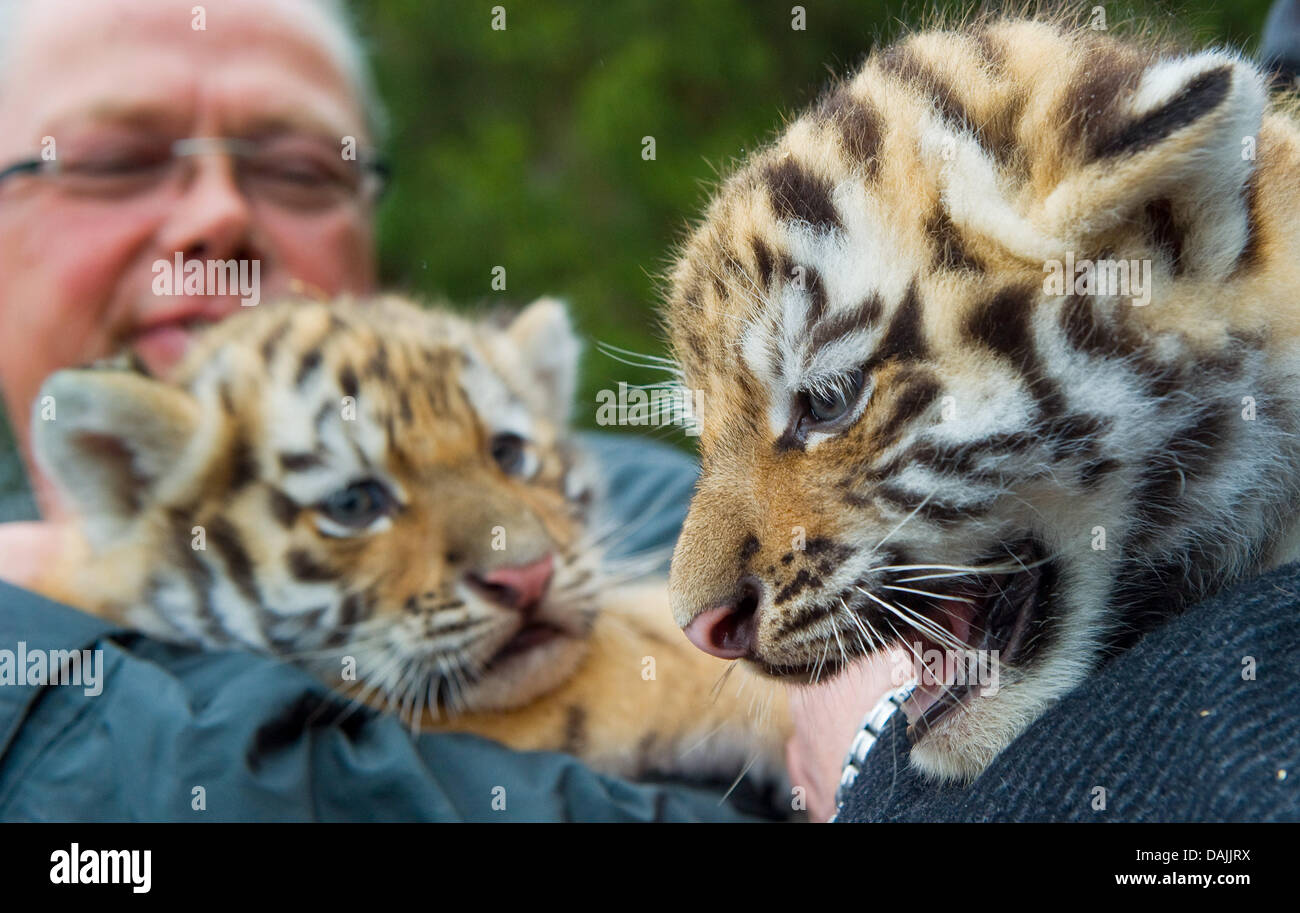 Bernd Hensch, director of the zoo, presents two baby tigers in Eberswalde, Germany, 14 April 2011. They were - Stock Image
