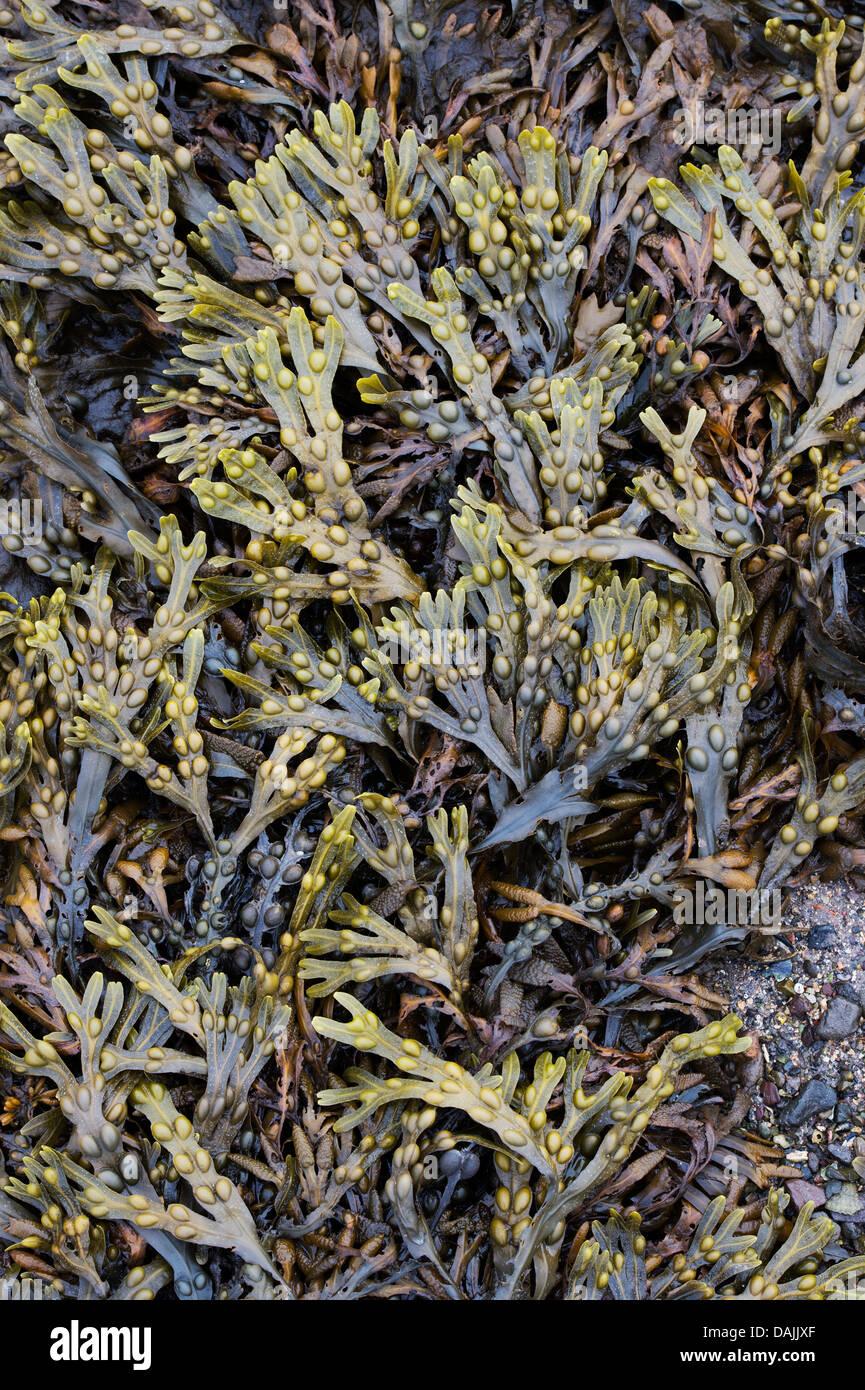Fucus vesiculosus. Bladderwrack Seaweed Stock Photo