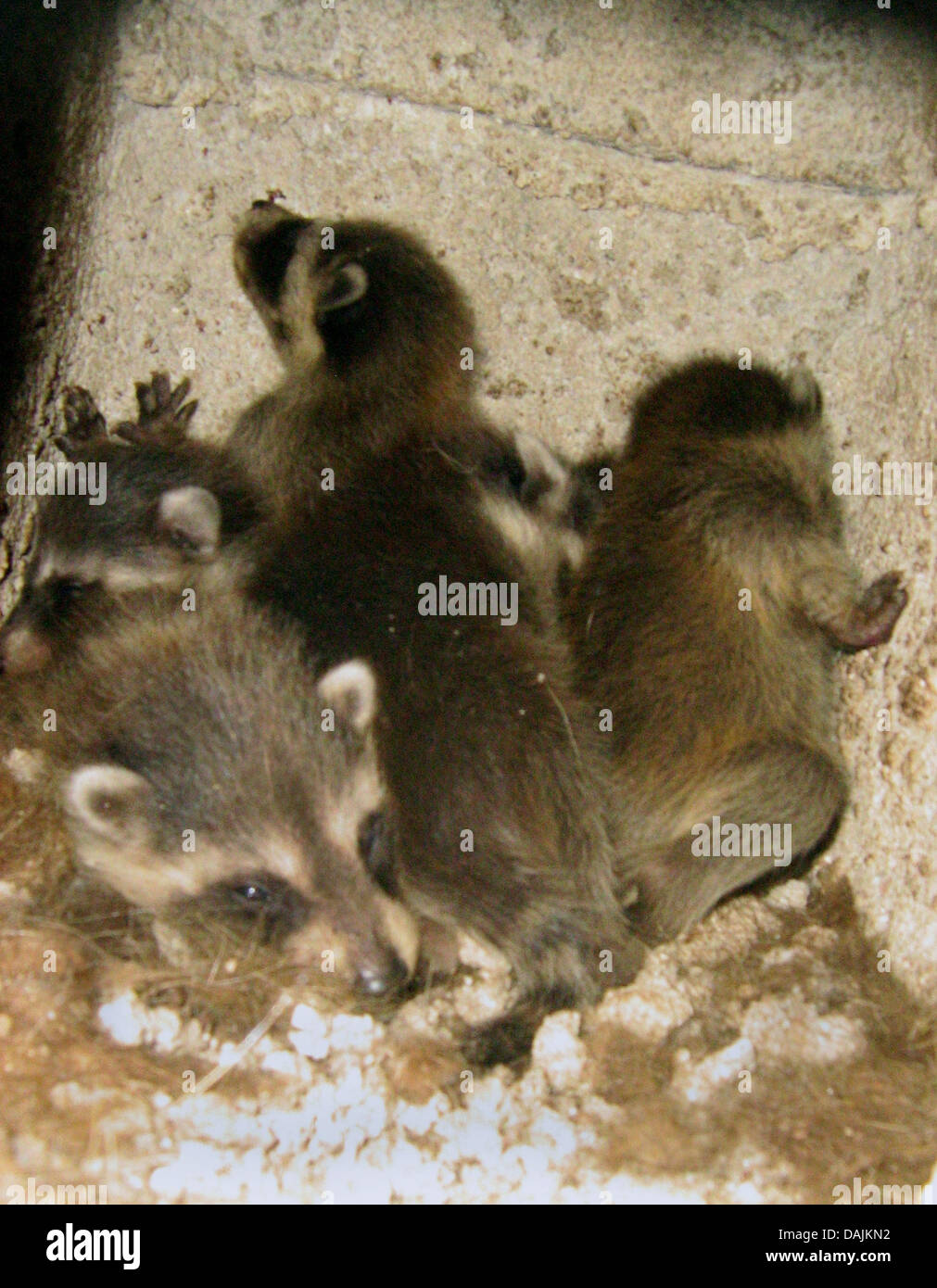 six baby racoons lie in a nest inside a chimney in Friedrichsdorf, Germany, 17 April 2011. The babies were abandoned - Stock Image