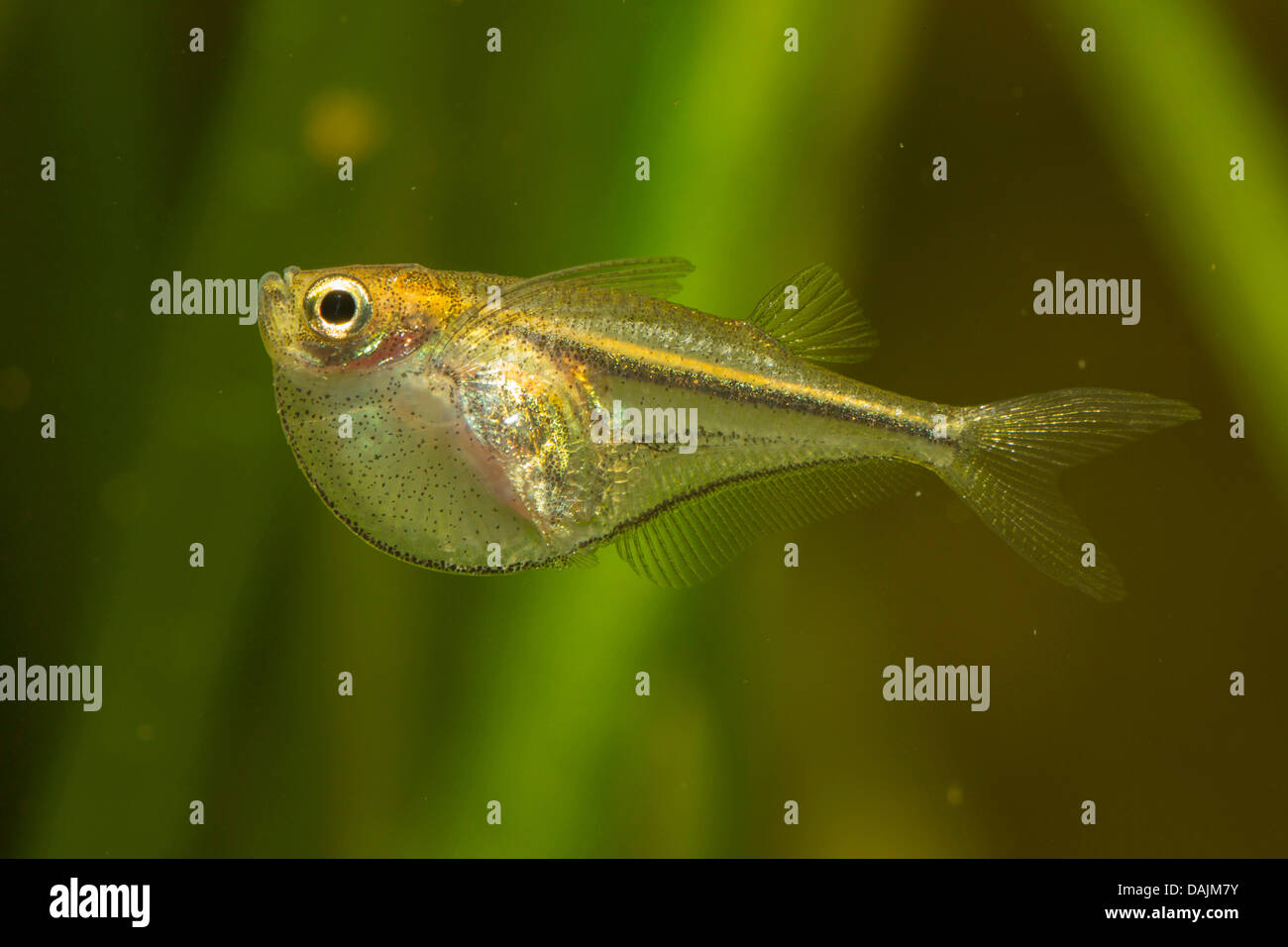 pygmy hatchetfish (Carnegiella myersi), at the water surface - Stock Image