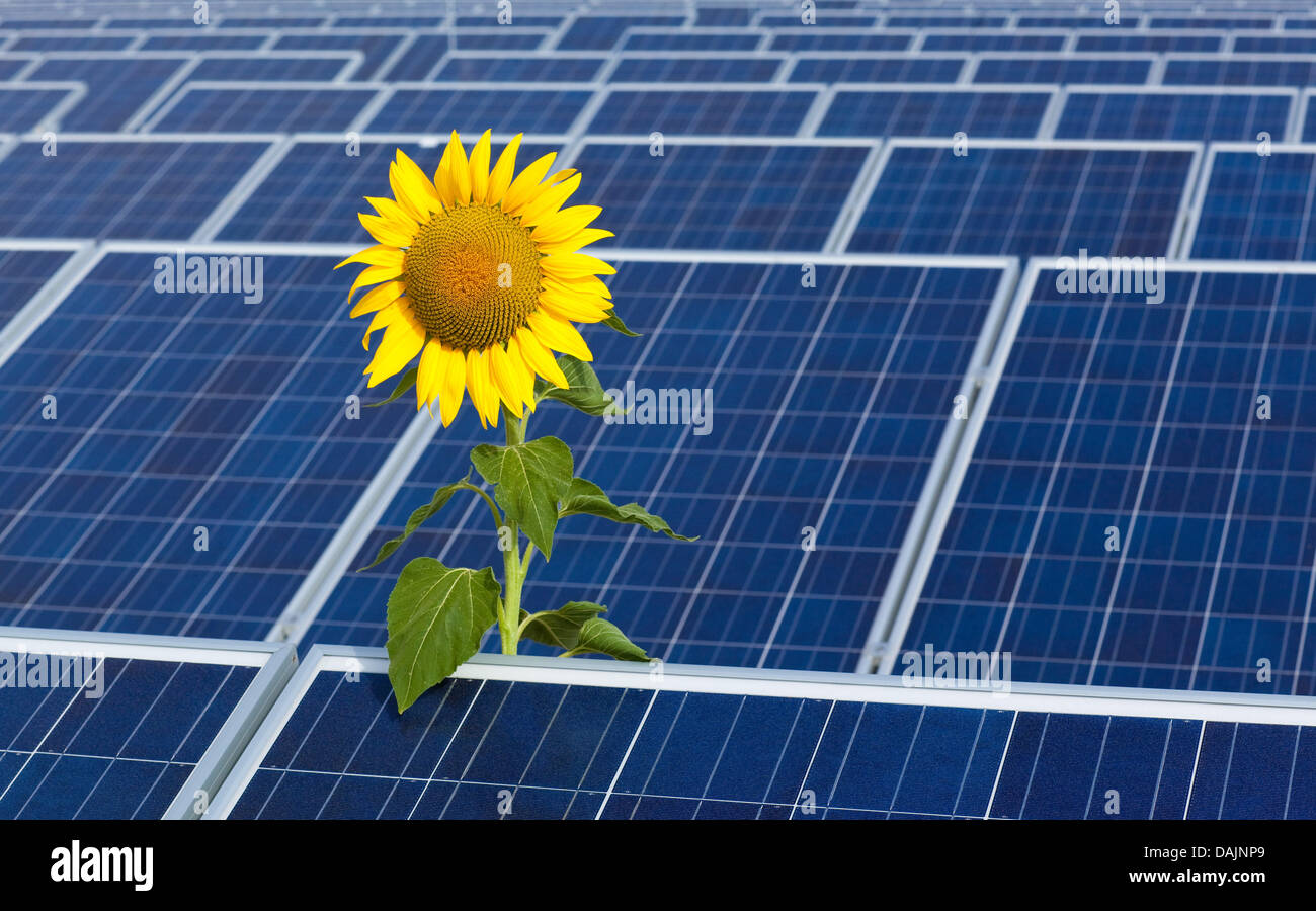 An illustration shows a sunflower on a solar panel roof in Frankfurt Oder, Germany, 31 August 2009. Google will - Stock Image
